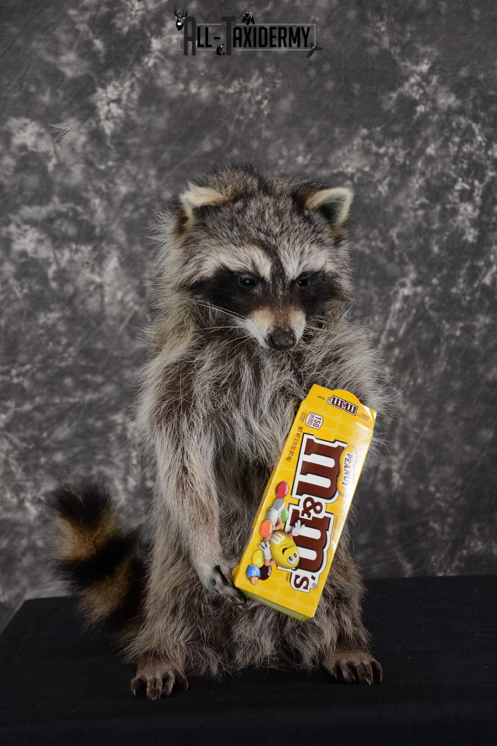 Raccoon with M&M candy life size taxidermy mount for sale SKU 1631
