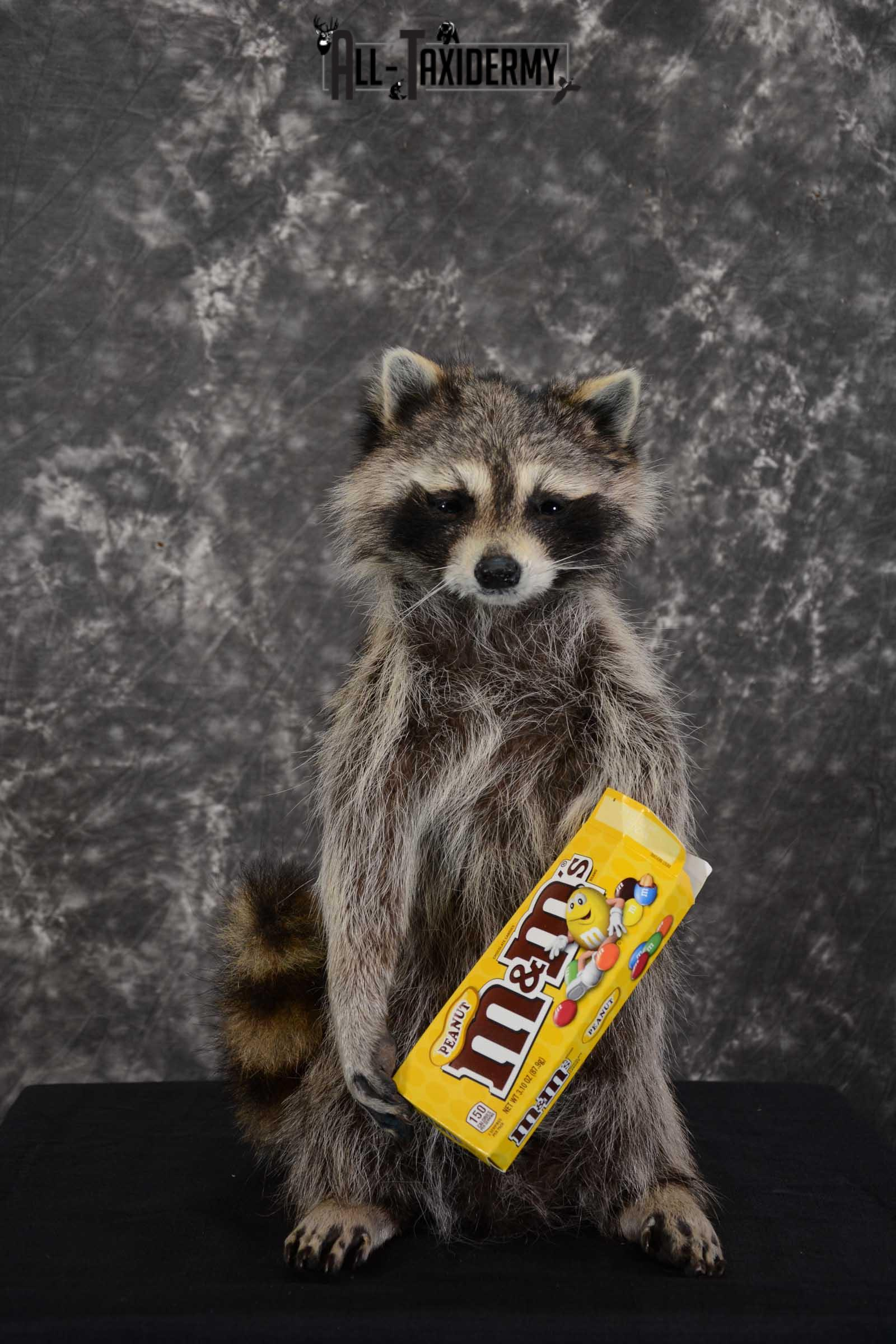 Raccoon with M&M candy life size taxidermy mount for sale SKU 1632