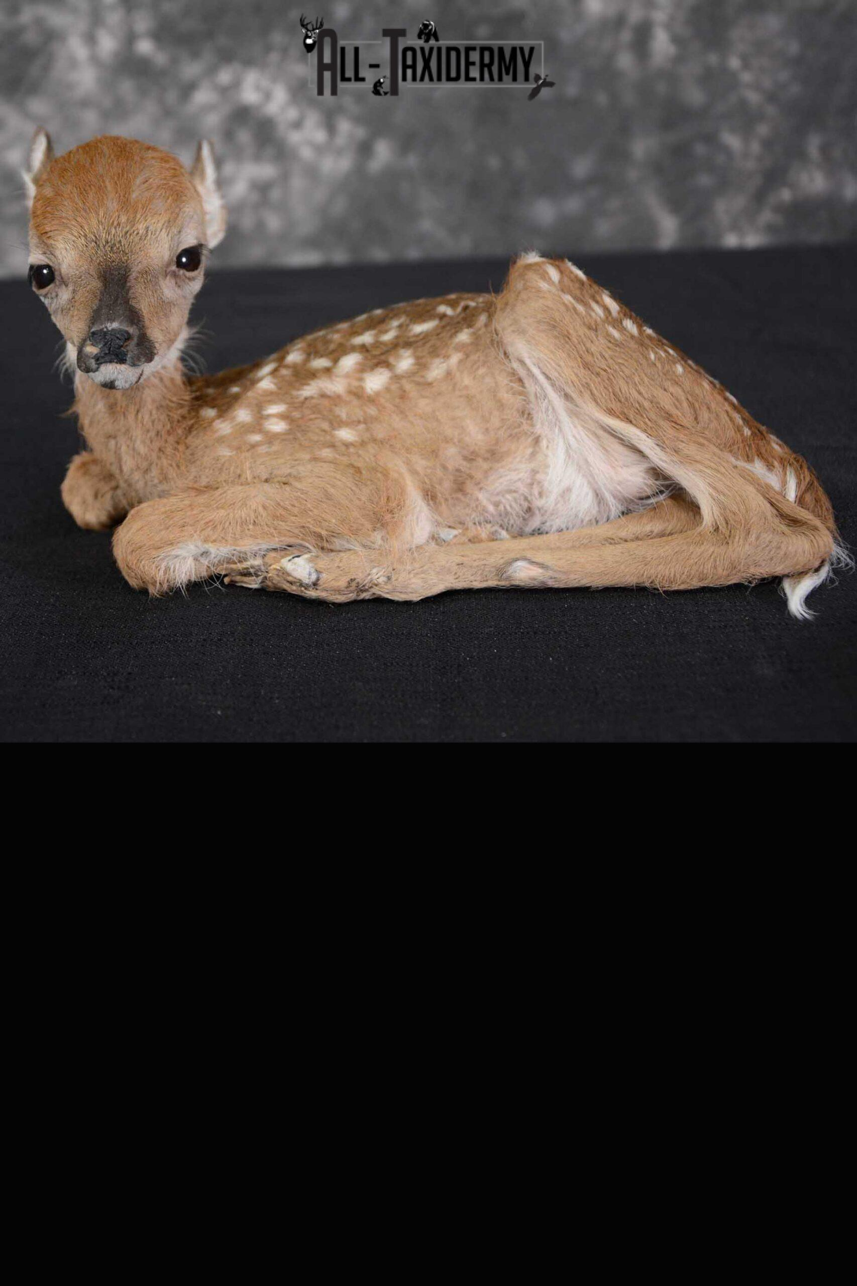Whitetail deer extra small Fawn taxidermy full body mount SKU 1643
