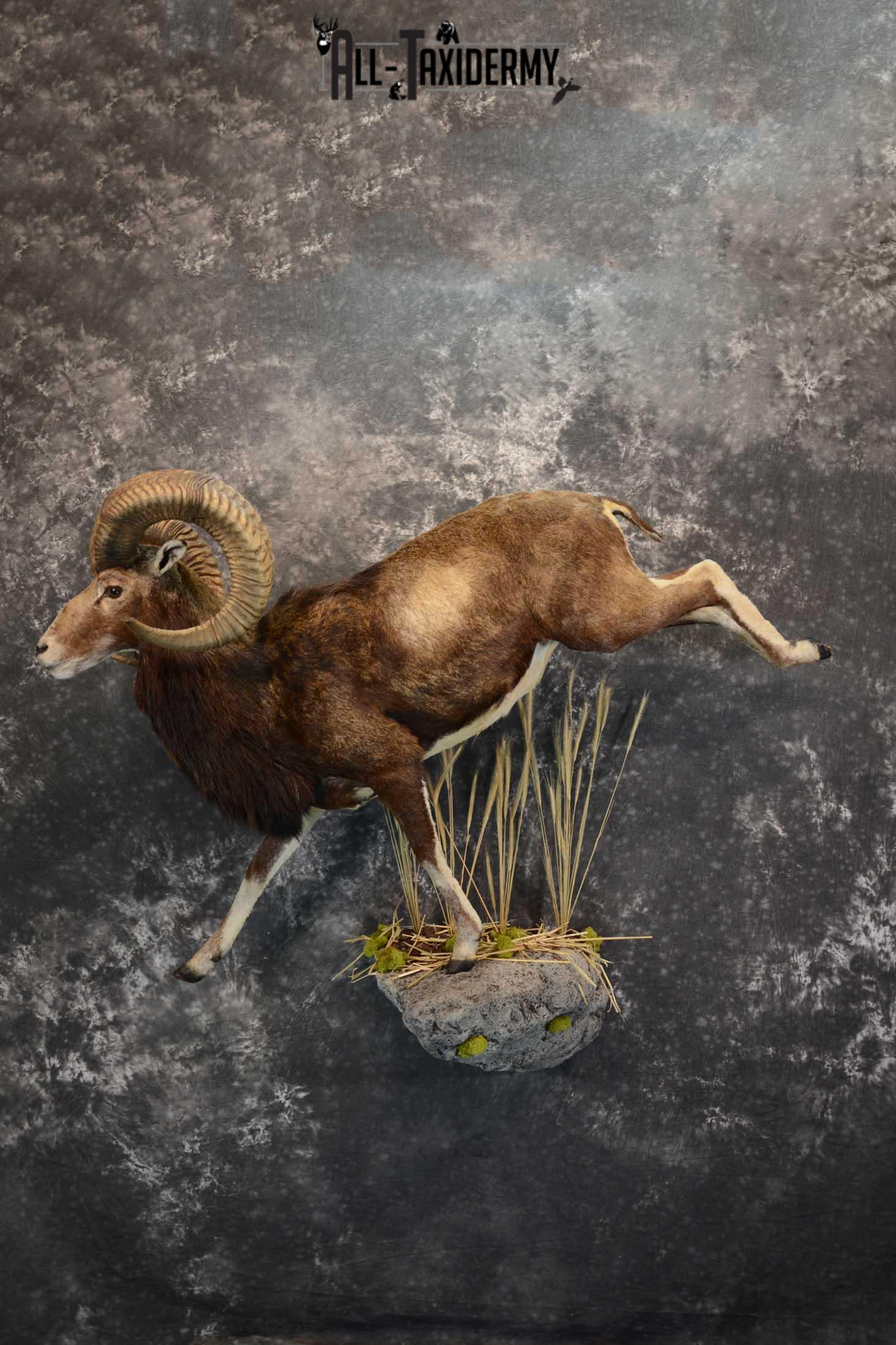 Mouflon Sheep full body taxidermy mount for sale SKU 1668