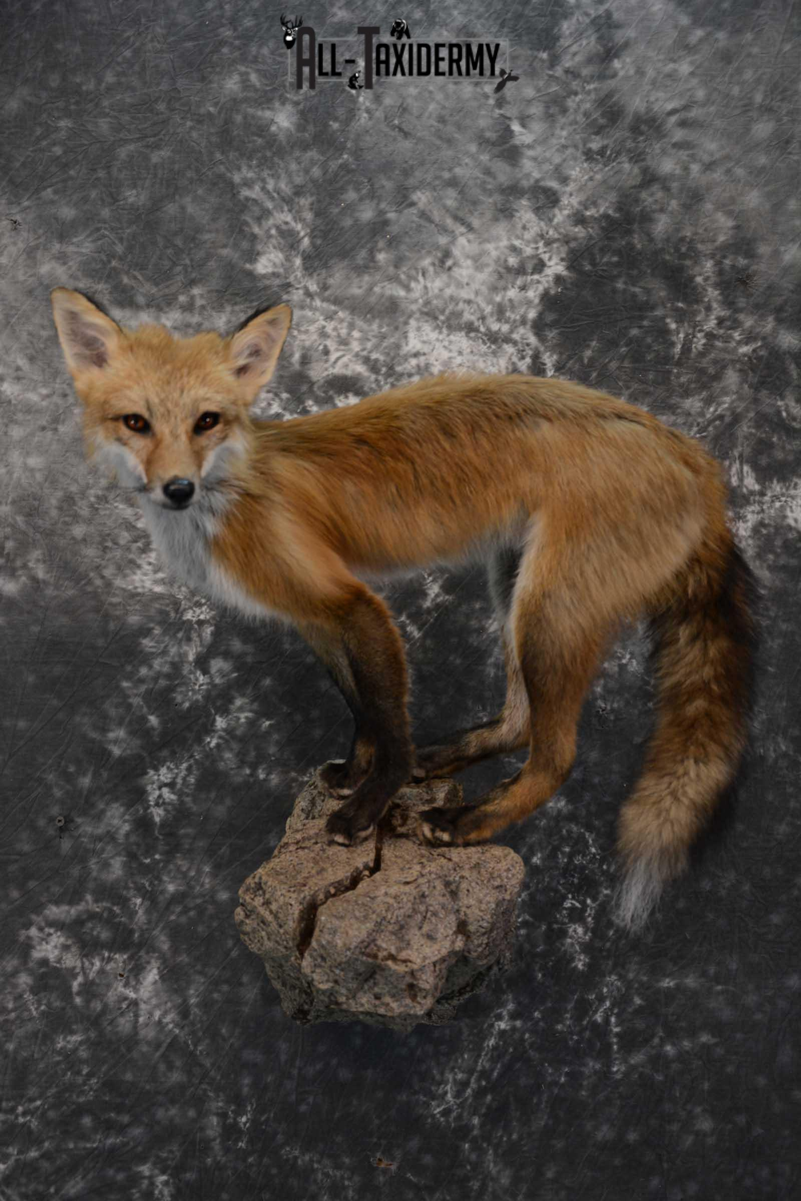 Red Fox Taxidermy Mount for Sale SKU 1672