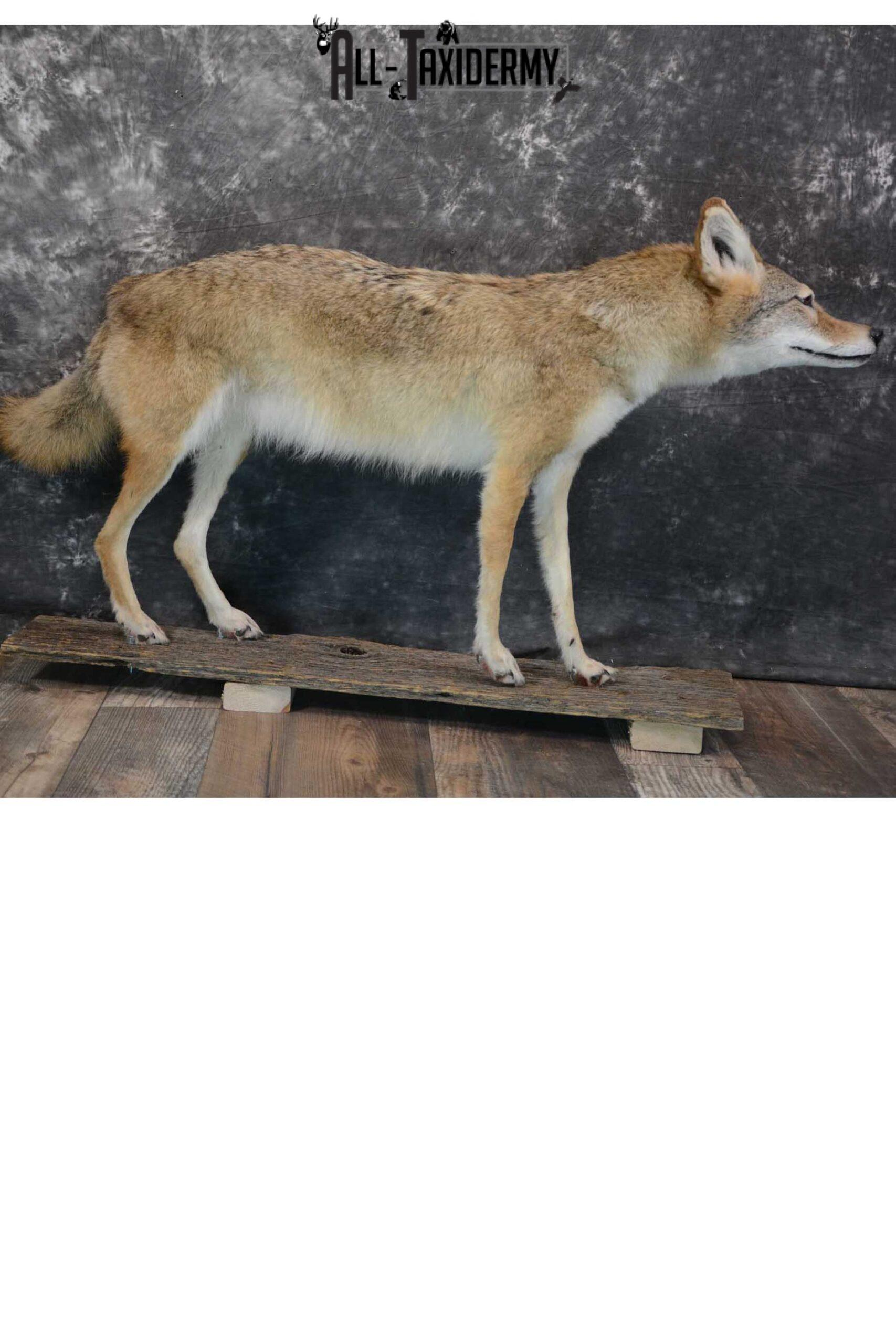 Full body coyote taxidermy mount for sale SKU 1660