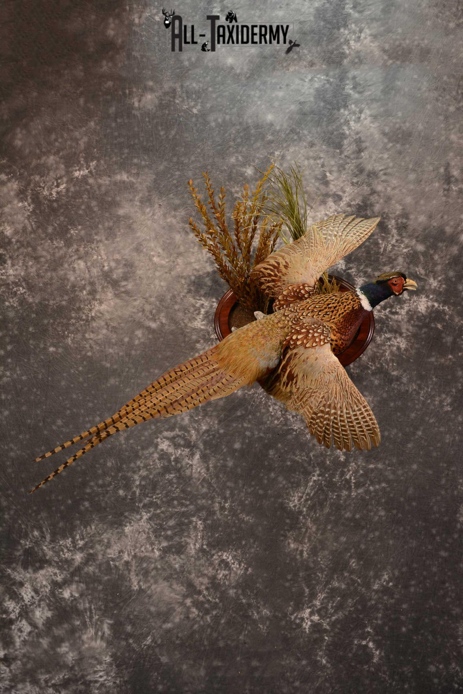 Ring Neck Pheasant taxidermy bird mount for sale SKU 1640