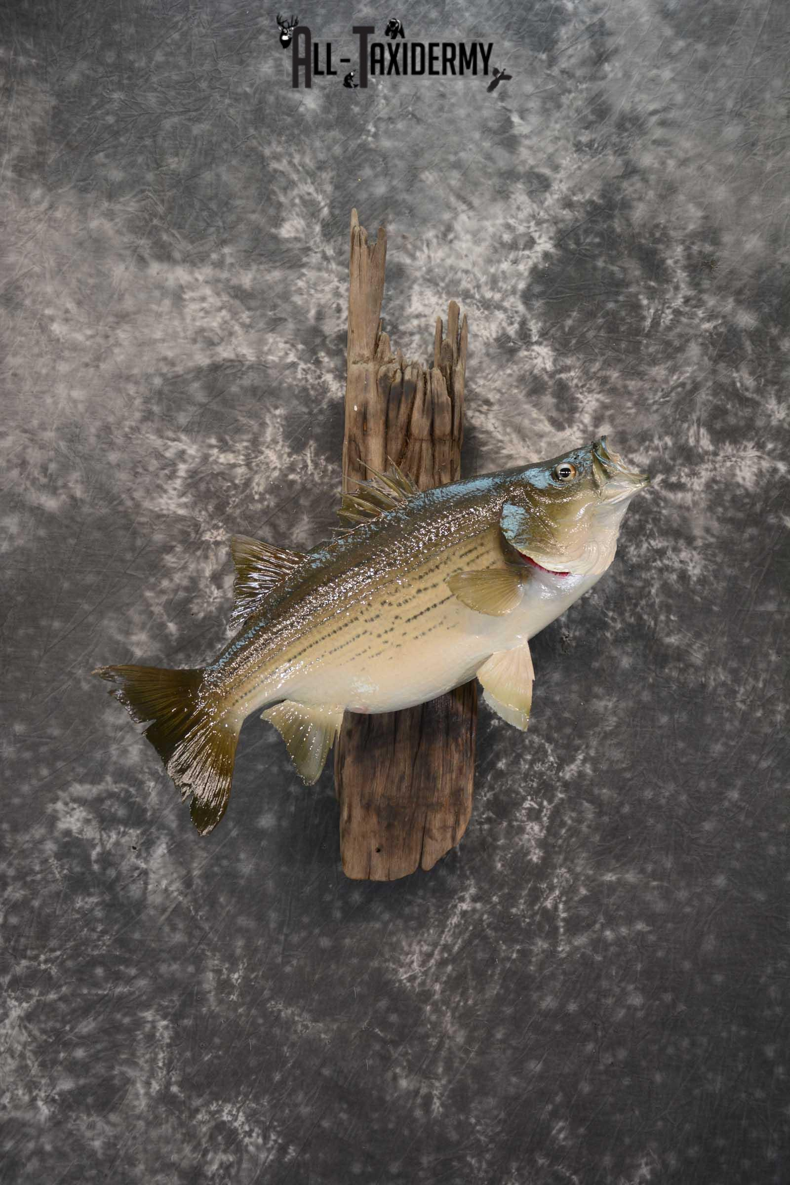 Striped Bass skin taxidermy mount for sale SKU 1671