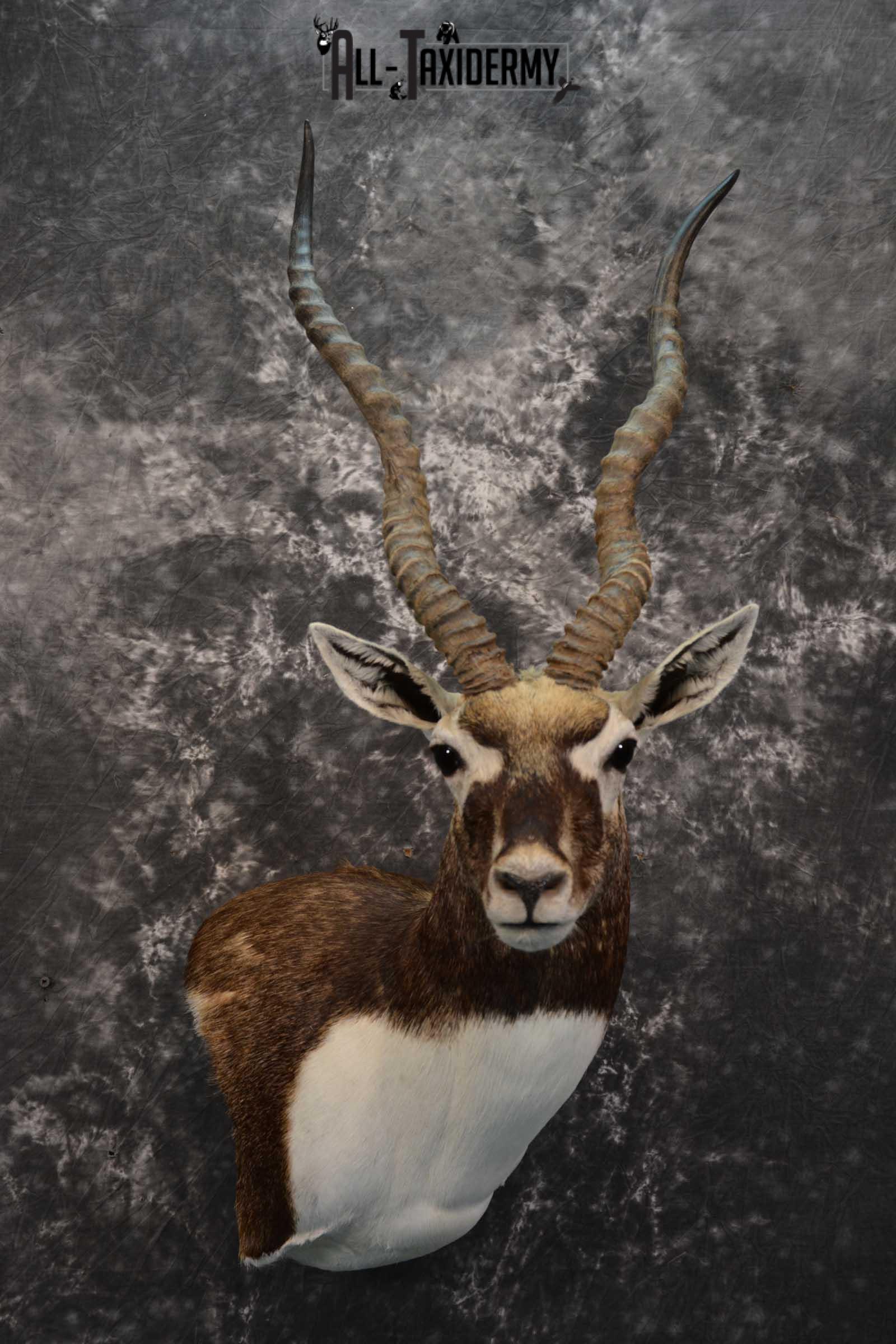 Indian Black Buck taxidermy shoulder mount for sale SKU 1737
