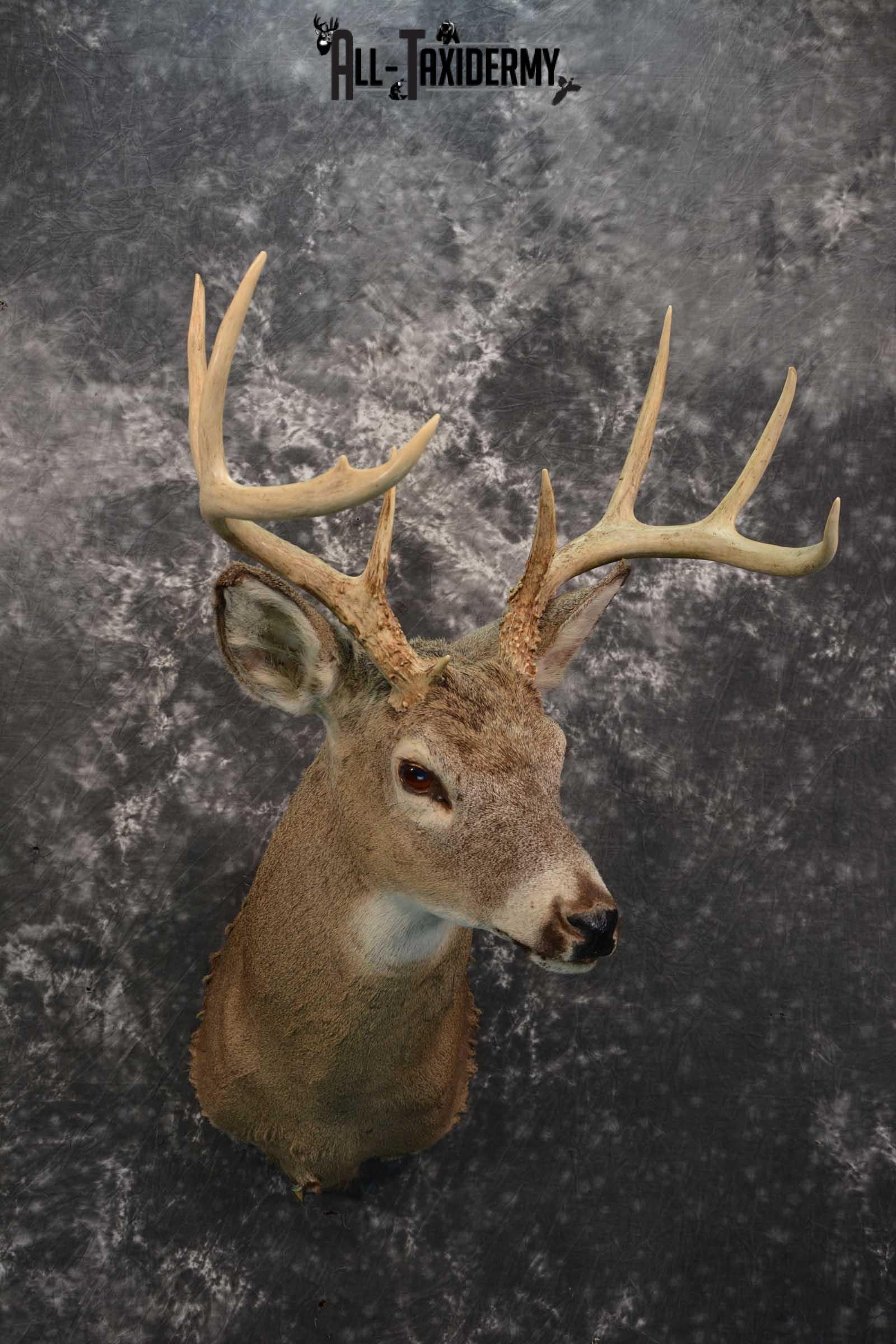 Whitetail deer taxidermy shoulder mount for sale SKU 1727
