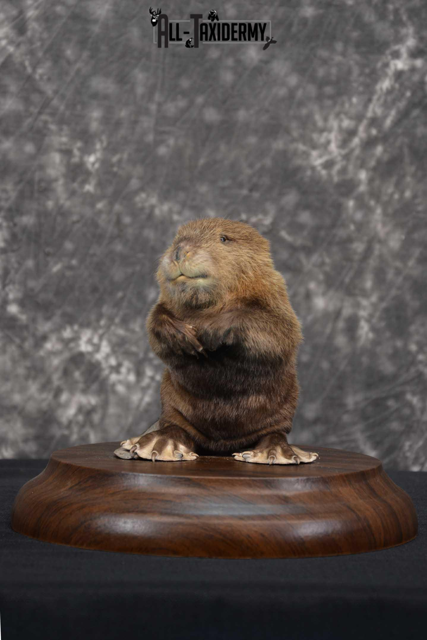 Baby Beaver life size taxidermy mount for sale SKU 1716