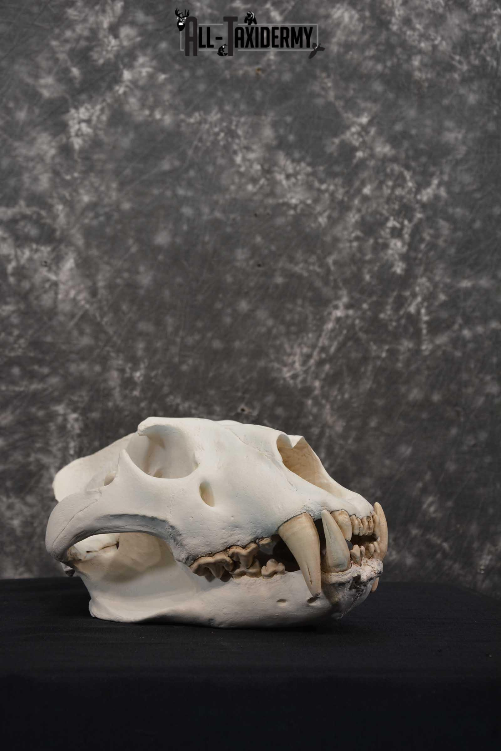 Reproduction African Lion Taxidermy  Skull for sale SKU 1717