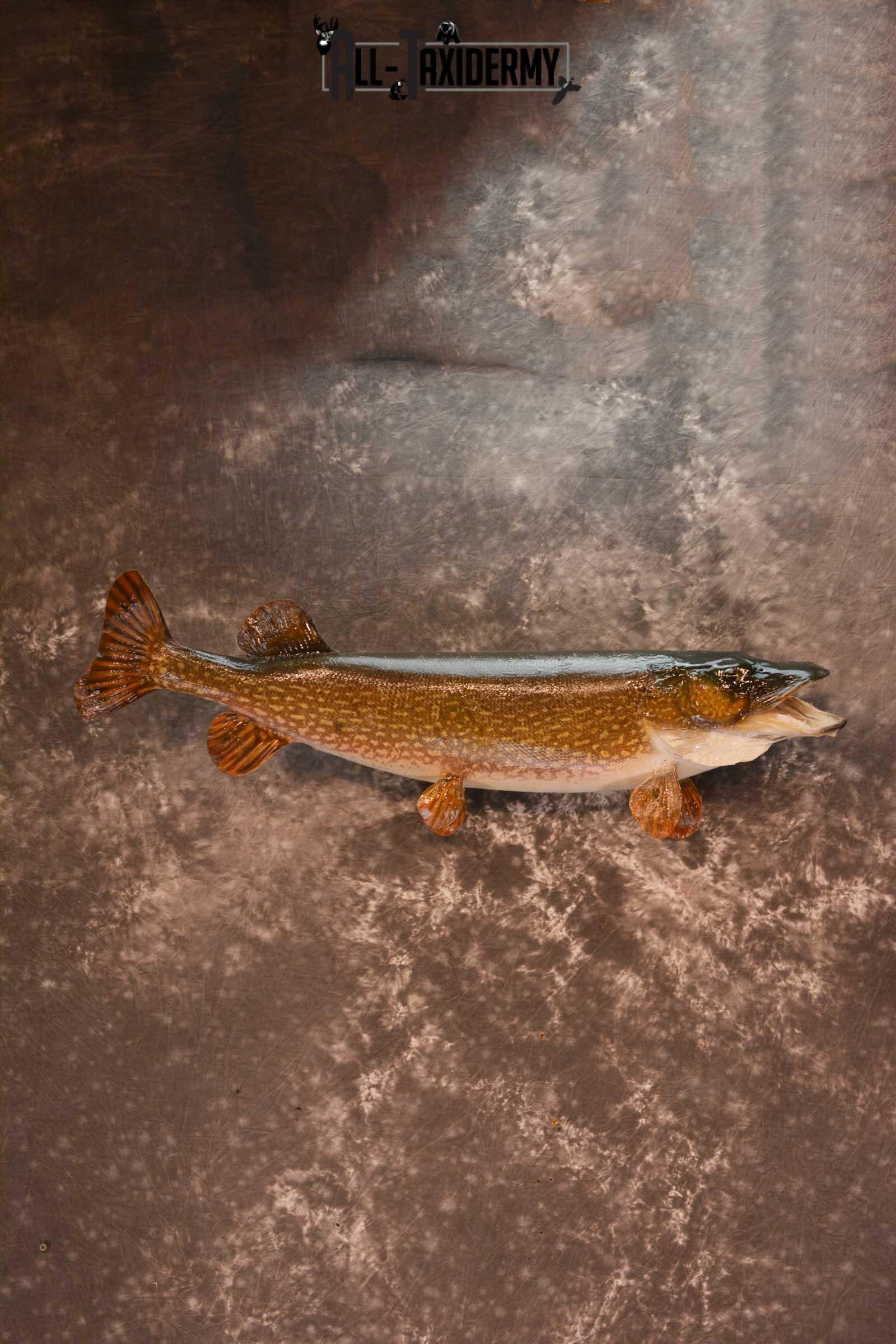 Northern Pike Taxidermy fish mount for sale SKU 1719