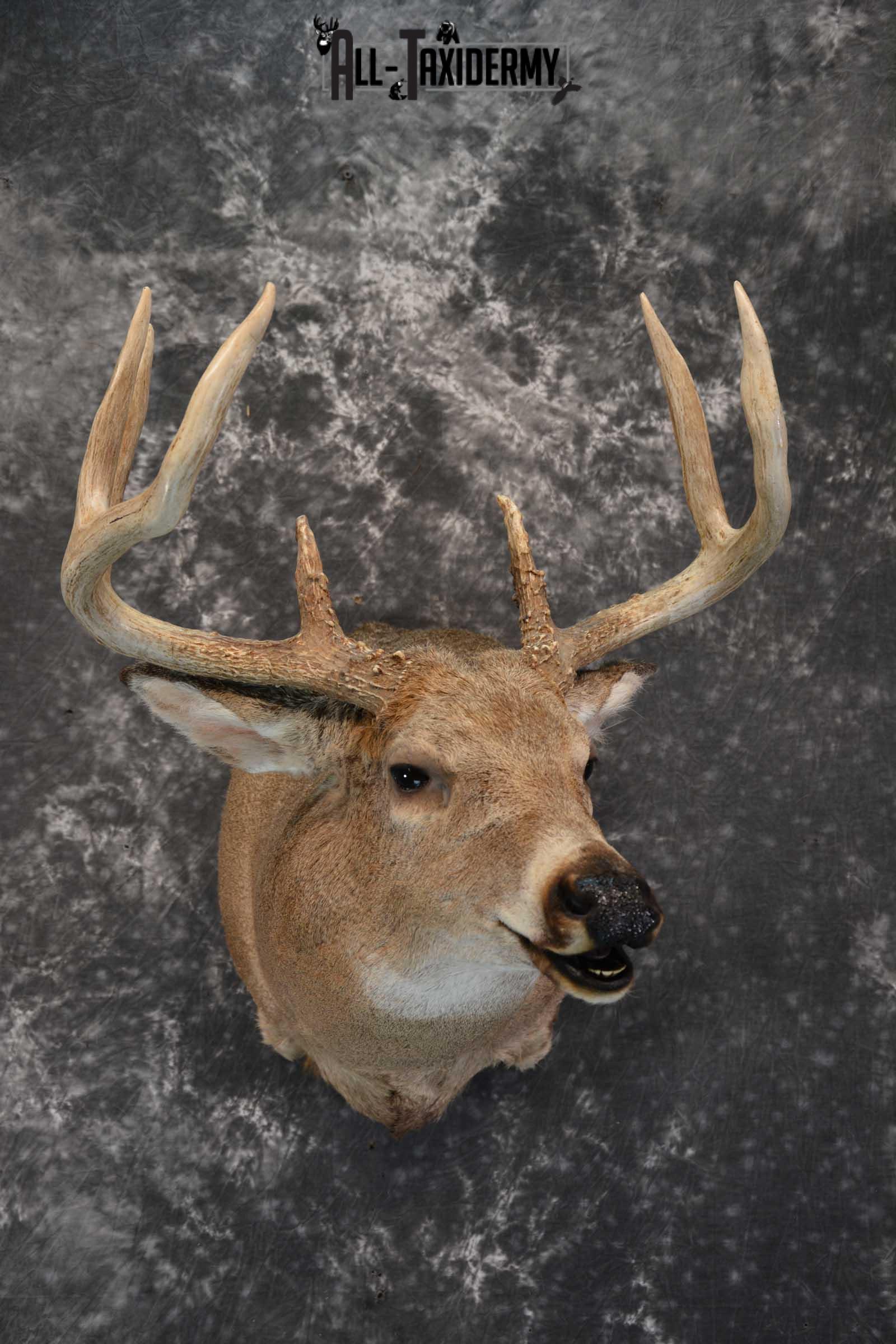 Whitetail deer taxidermy shoulder mount for sale SKU 1725