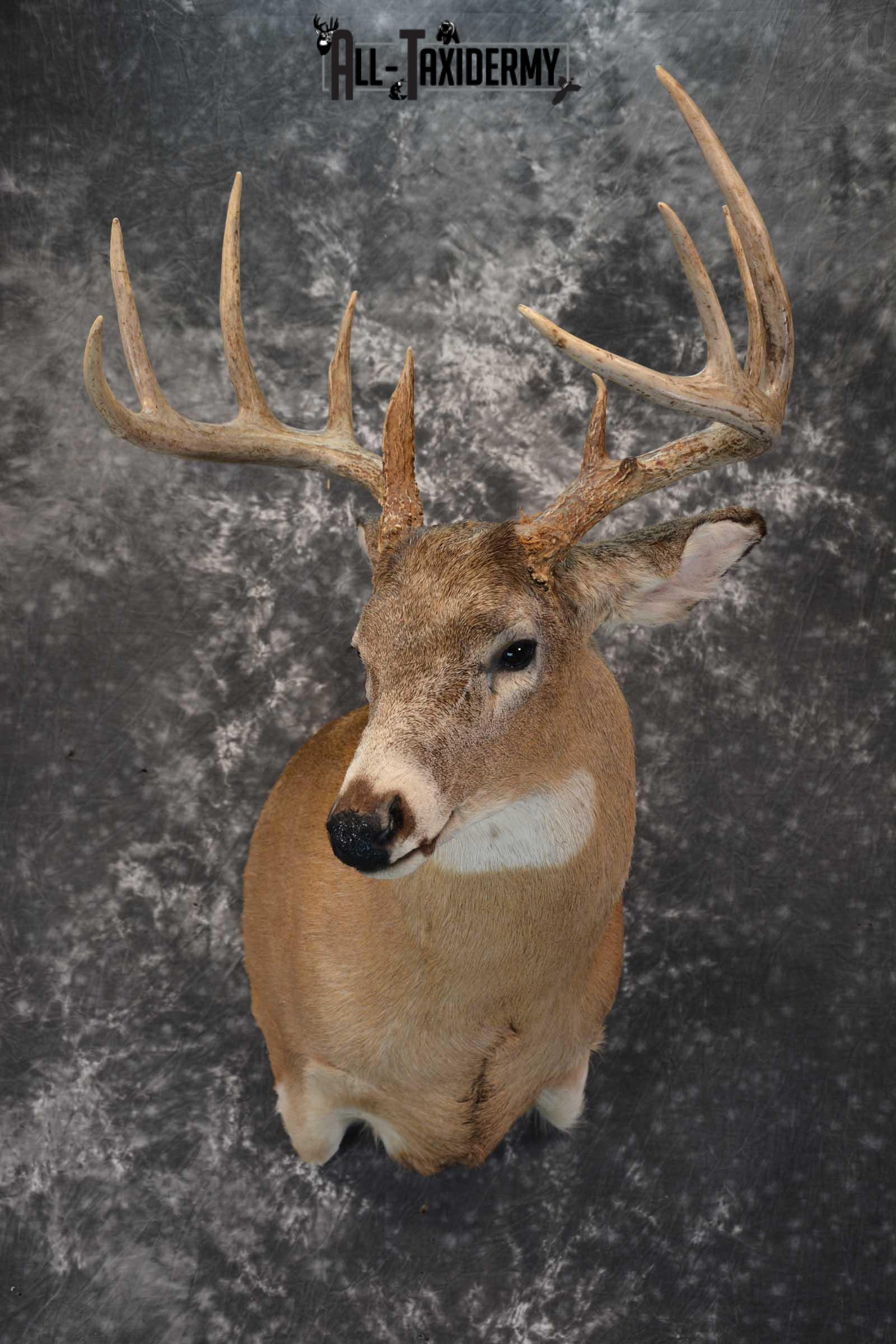 Whitetail deer taxidermy shoulder mount for sale SKU 1723