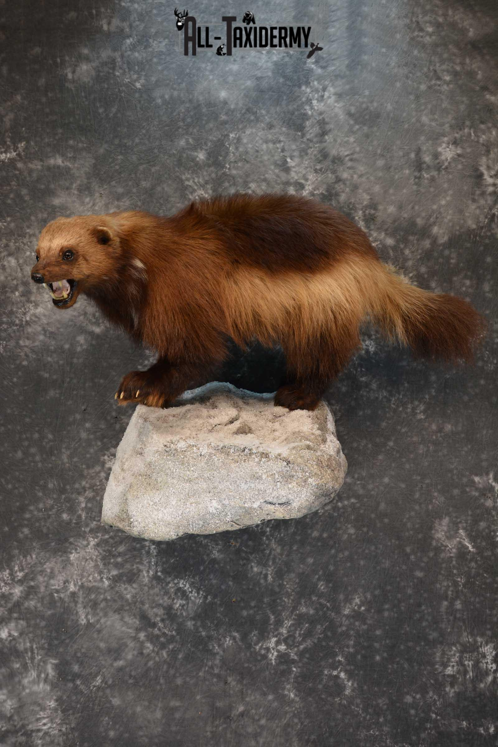 Full Body Wolverine Taxidermy mount for sale SKU 1722