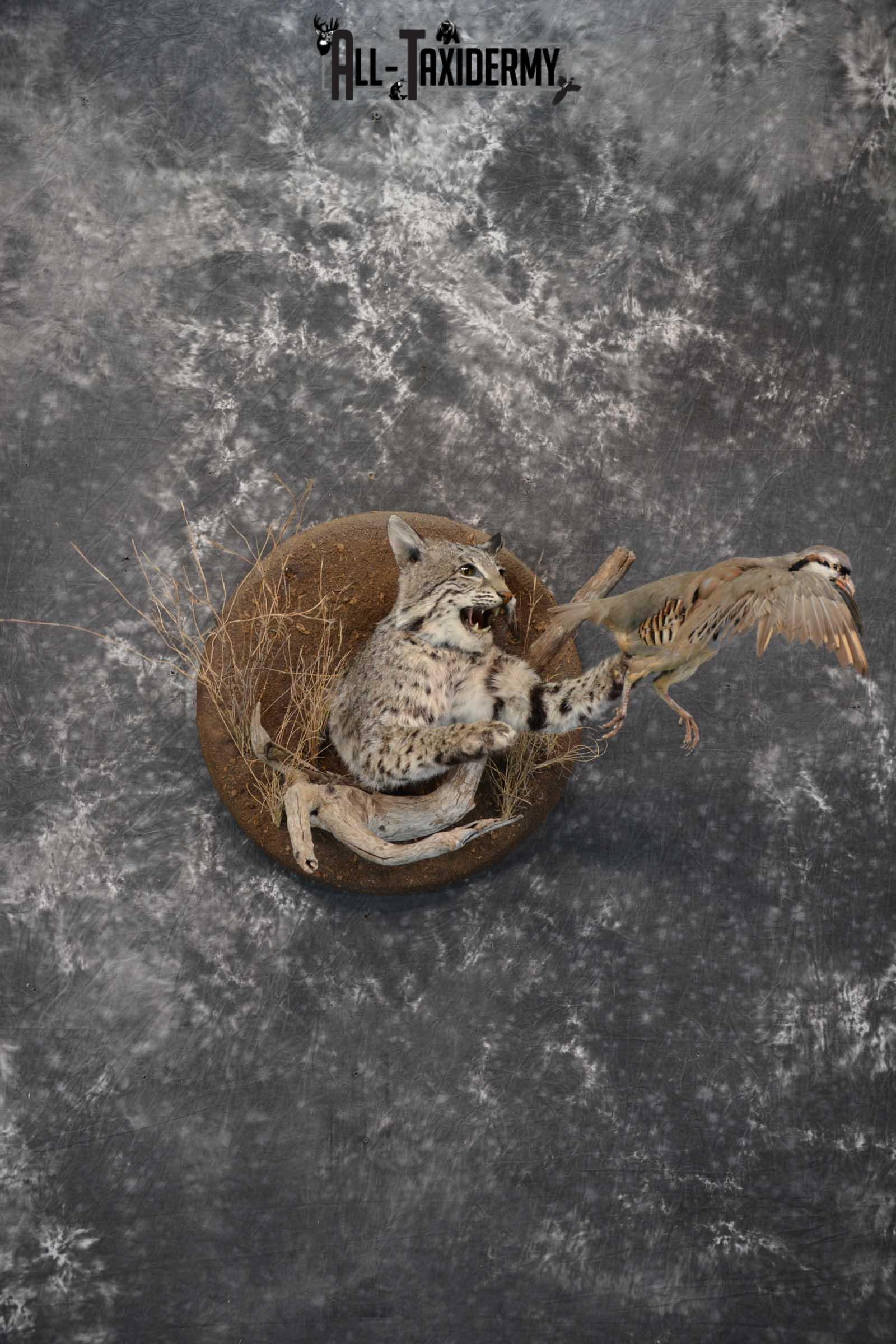 1/2 Body bobcat w/ Chukar Partridge Taxidermy mount for sale SKU 1788