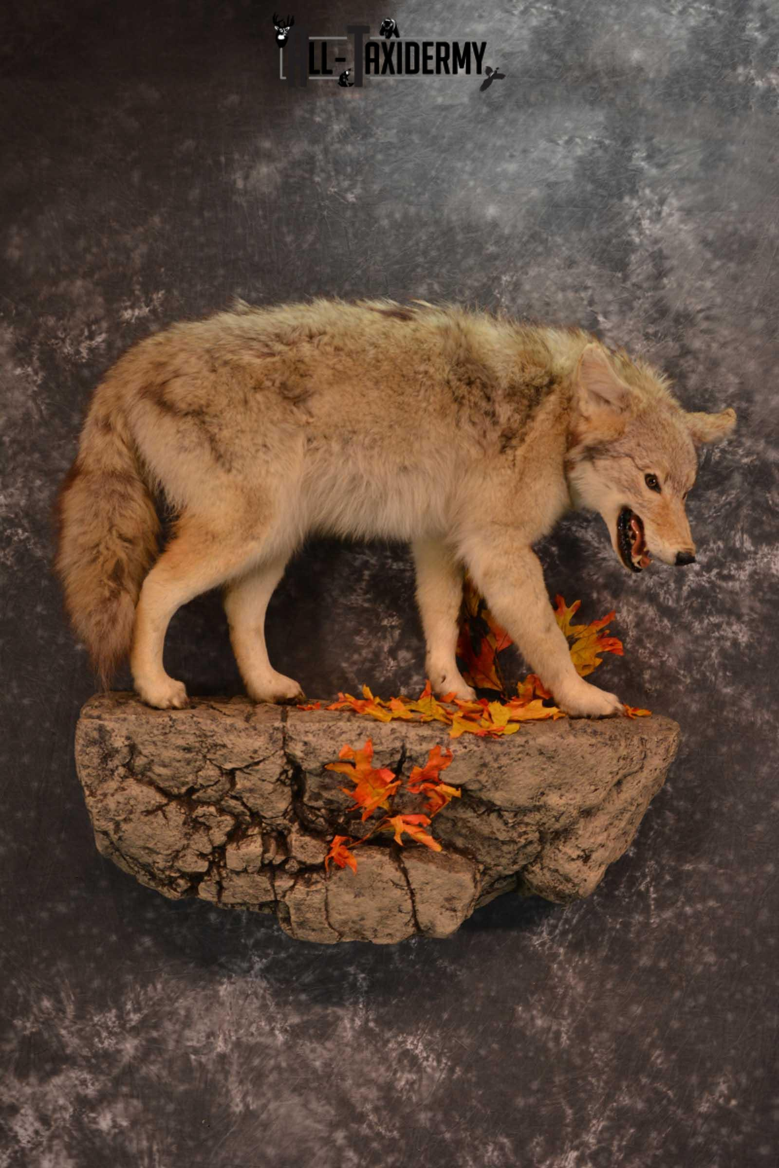 Full body Coyote Taxidermy mount for sale SKU 1827