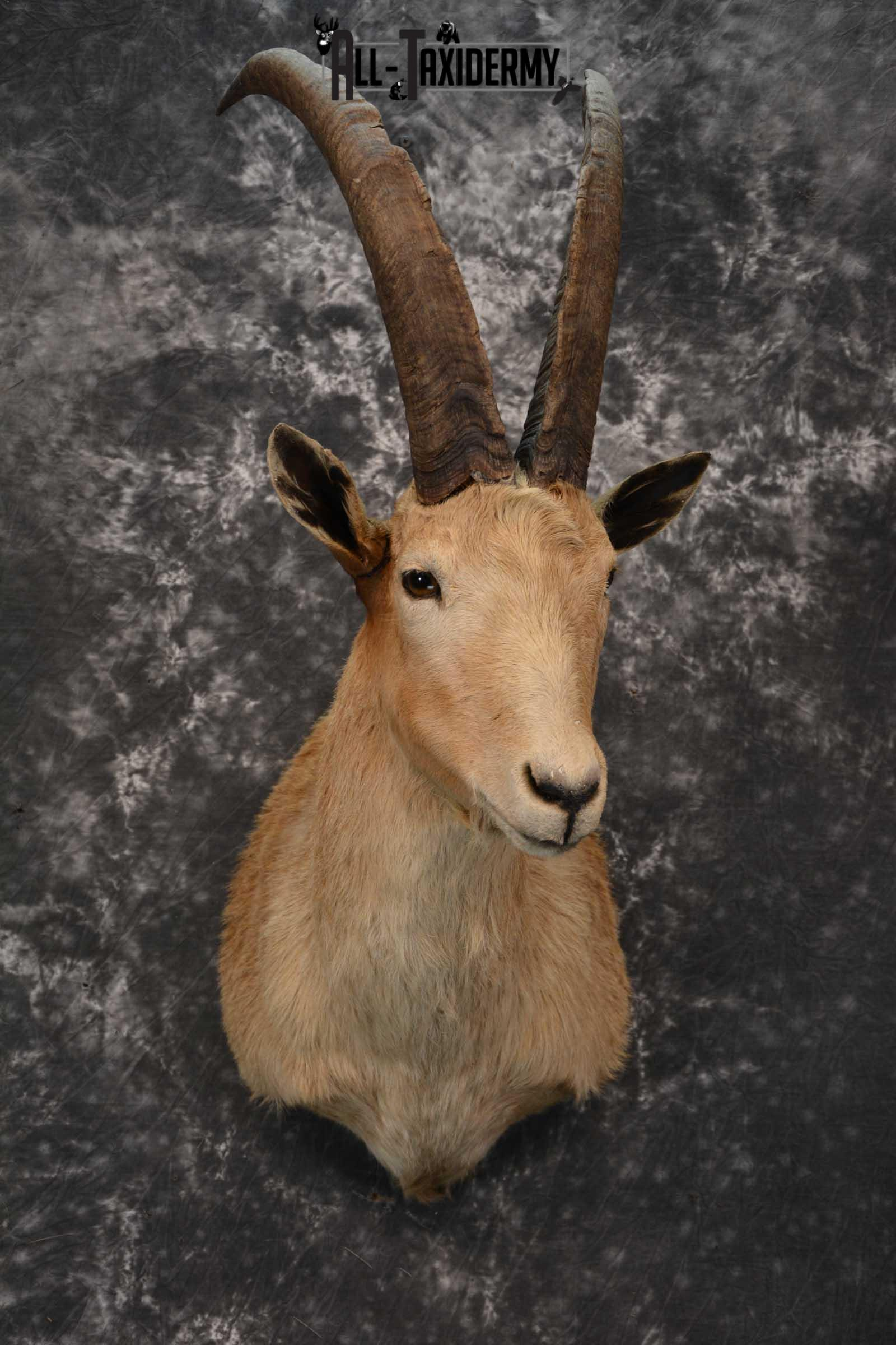 Hybrid Ibex taxidermy shoulder mount for sale SKU 1789
