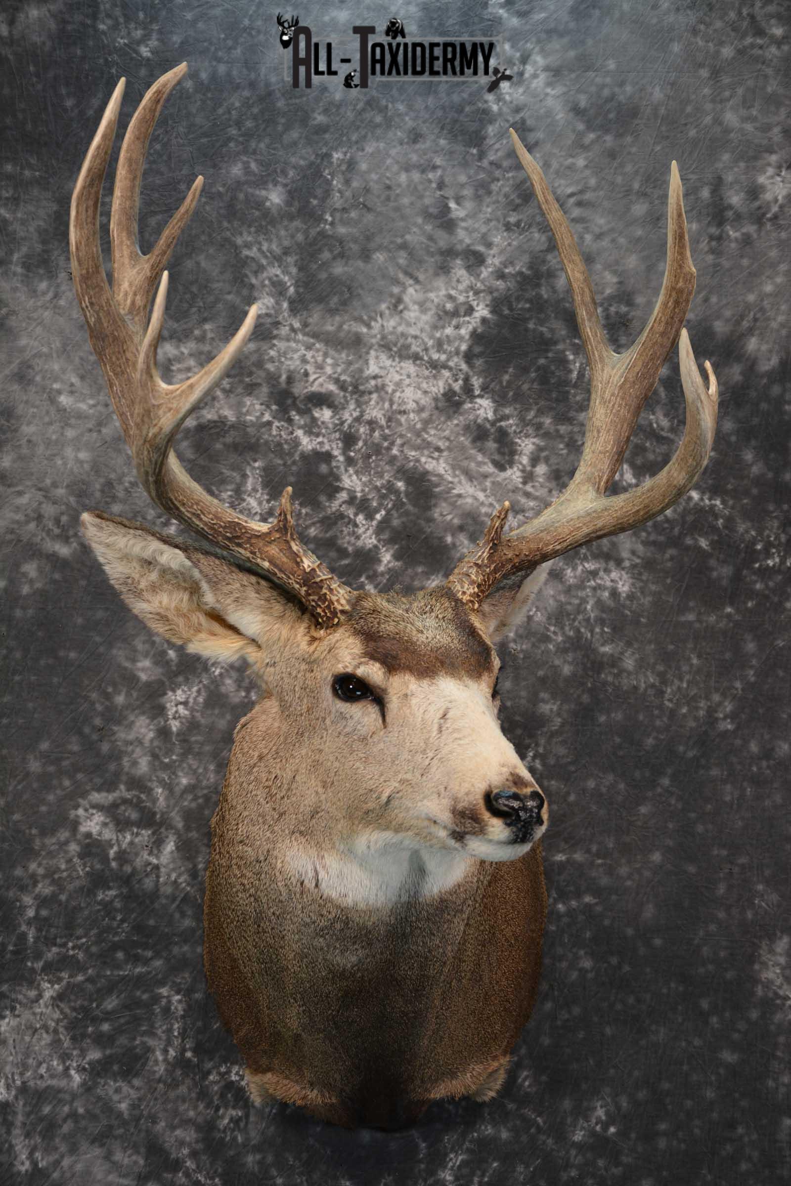 Massive Mule Deer taxidermy shoulder mount for sale SKU 1815