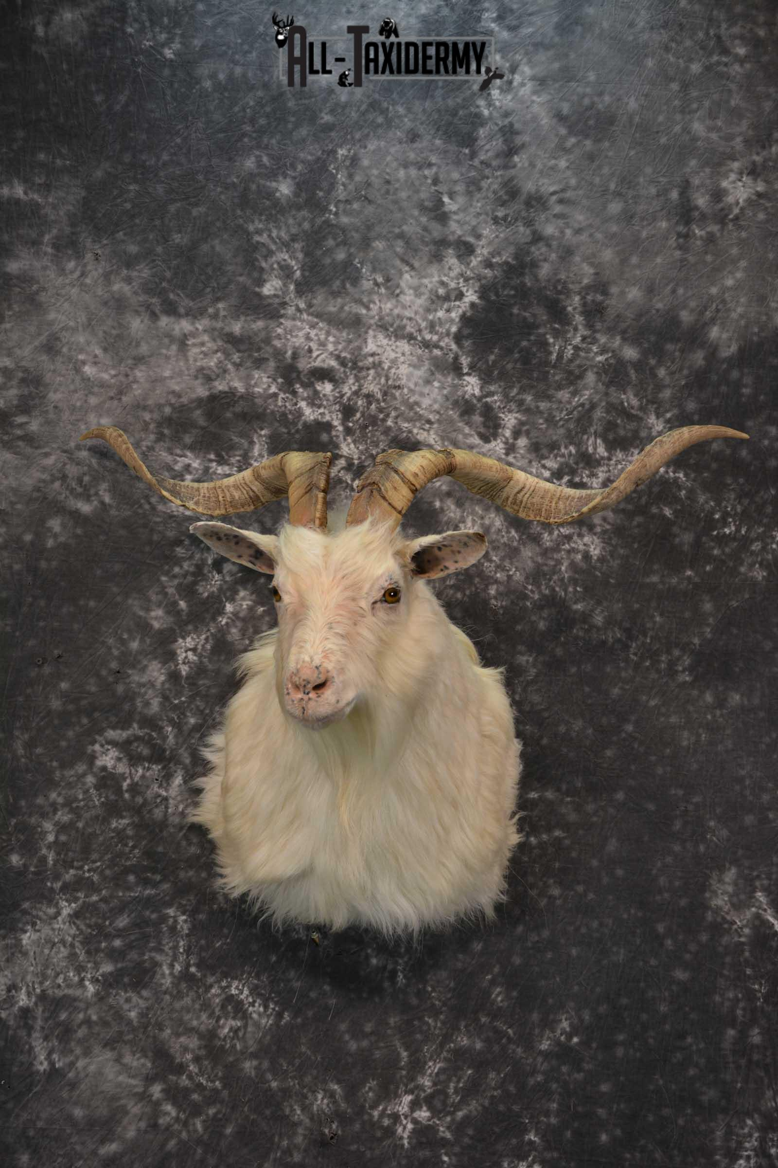 Hybrid Spanish Goat taxidermy shoulder mount for sale SKU 1791