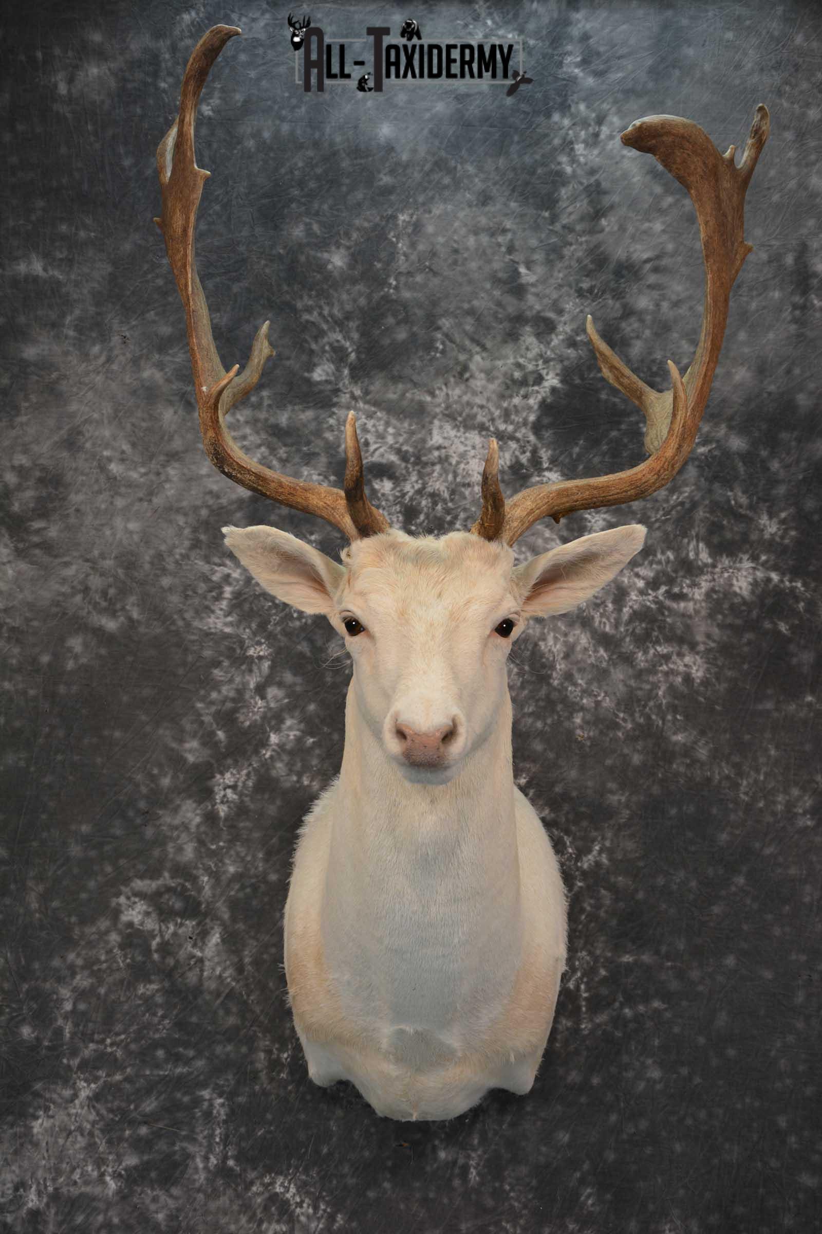 Blonde Fallow Deer taxidermy shoulder mount for sale SKU 1821
