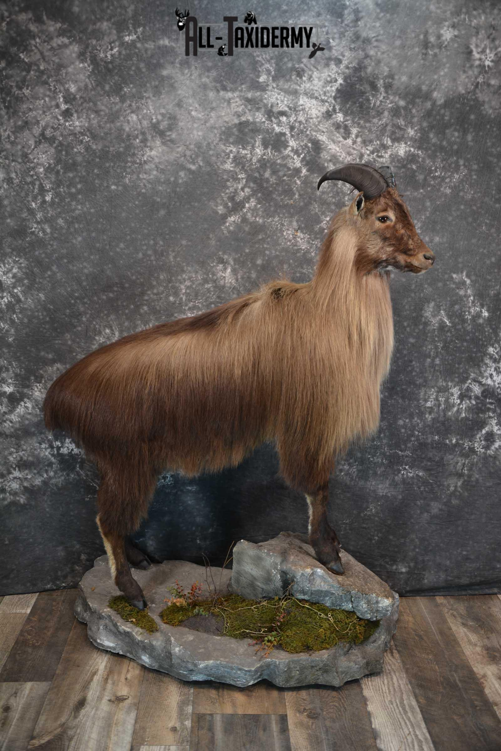Himalayan Tahr Full Body taxidermy mount for sale SKU 1820
