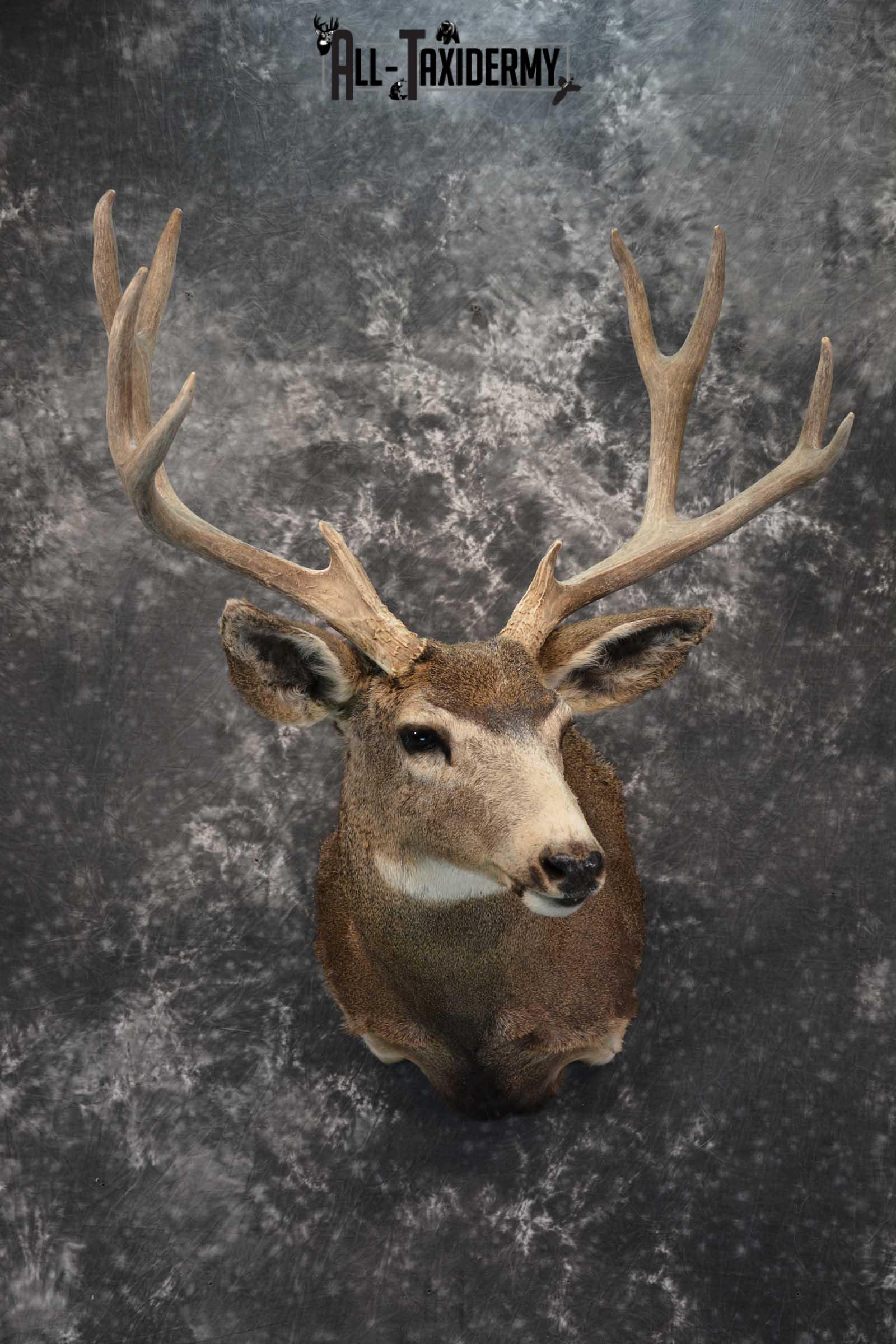Mule Deer Taxidermy Shoulder Mount for sale SKU 1814