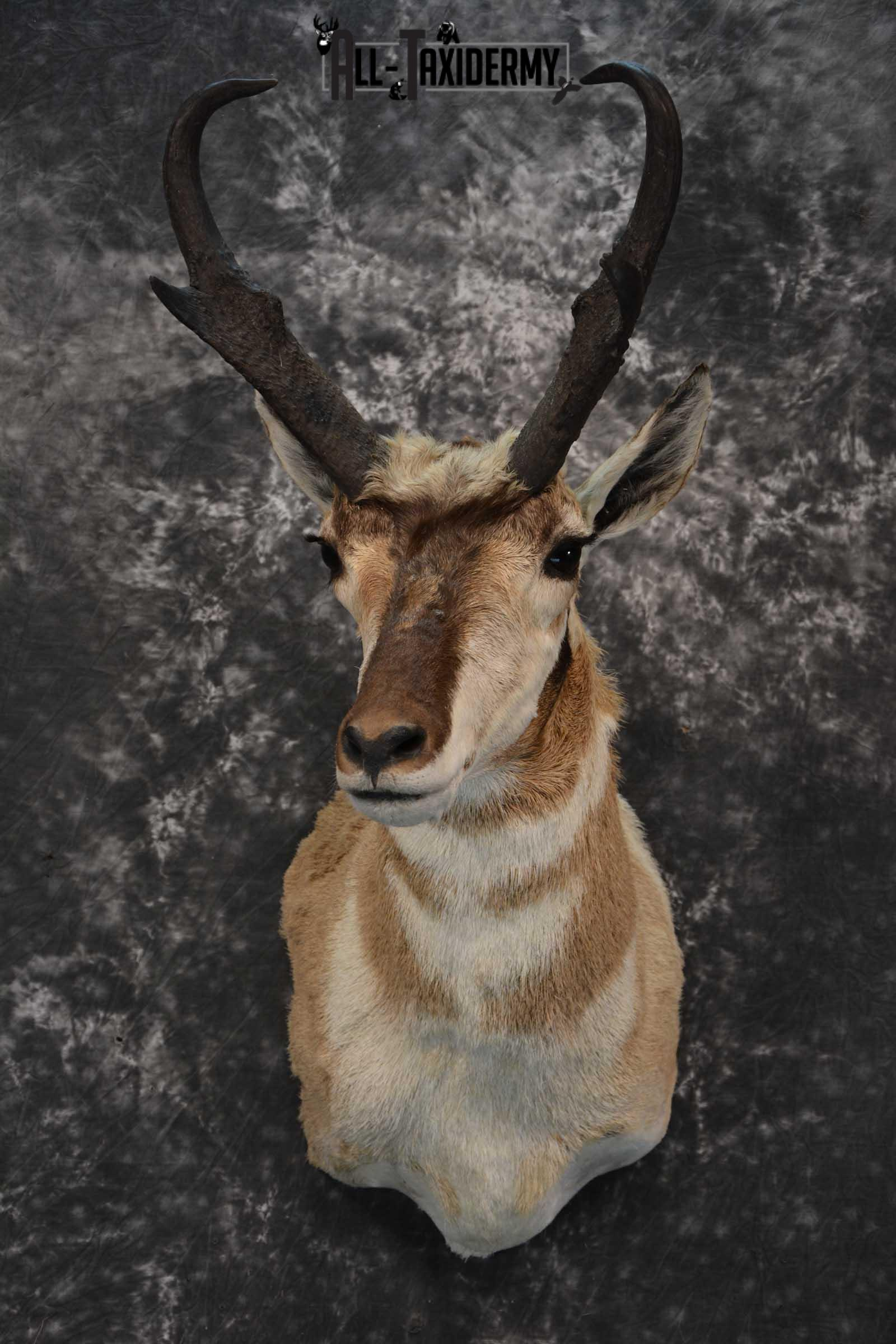 Pronghorn Shoulder taxidermy mount for sale SKU 1819