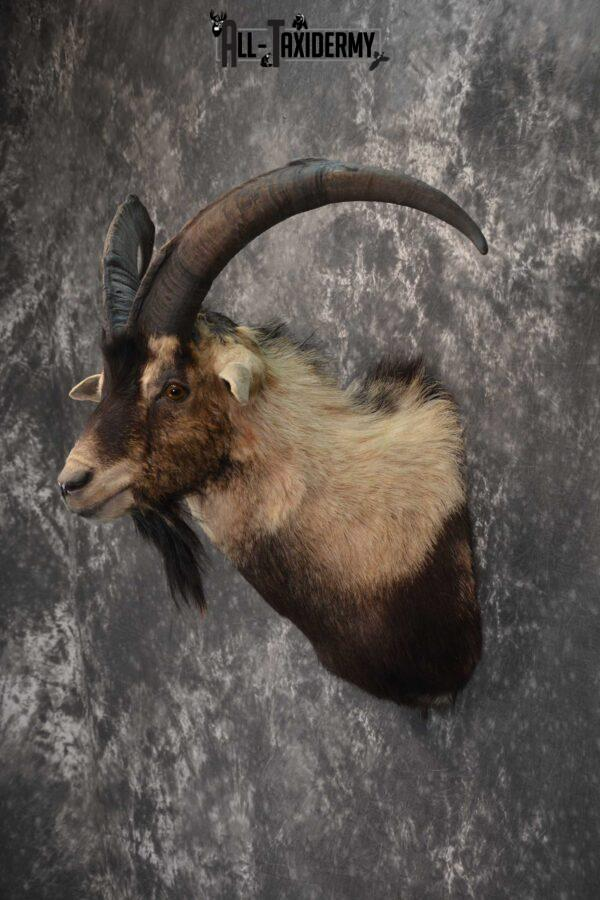Wyoming Ibex taxidermy shoulder mount for sale SKU 1818