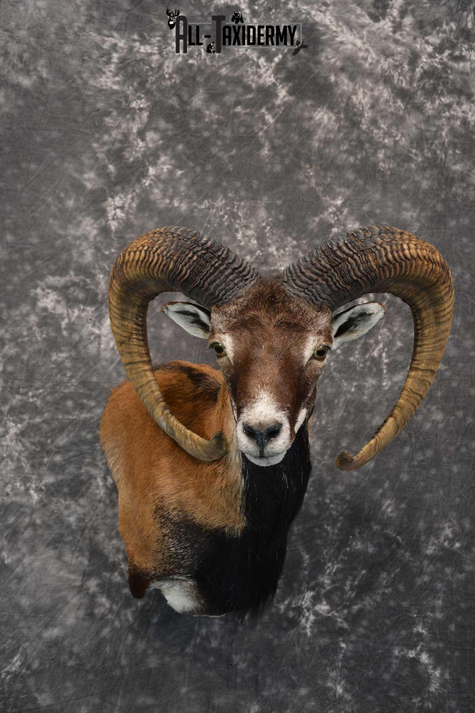 Mouflon taxidermy wall pedestal shoulder mount for sale SKU 1817