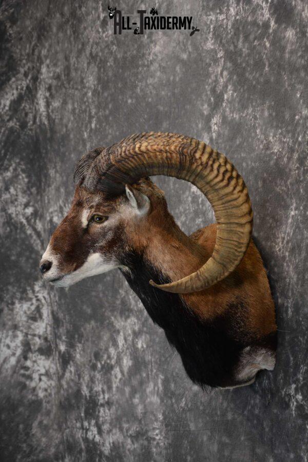 Mouflon taxidermy wall pedestal shoulder mount for sale SKU 1817