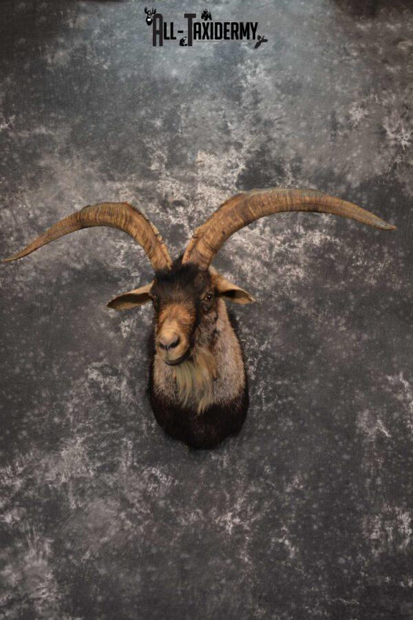 Wyoming Ibex Taxidermy shoulder mount for sale SKU 1816