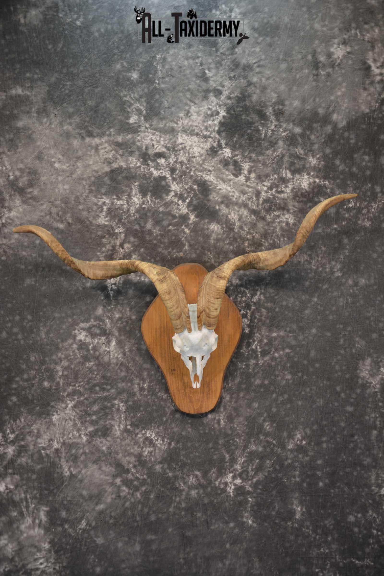 Spanish Goat european skull taxidermy for sale SKU 1783