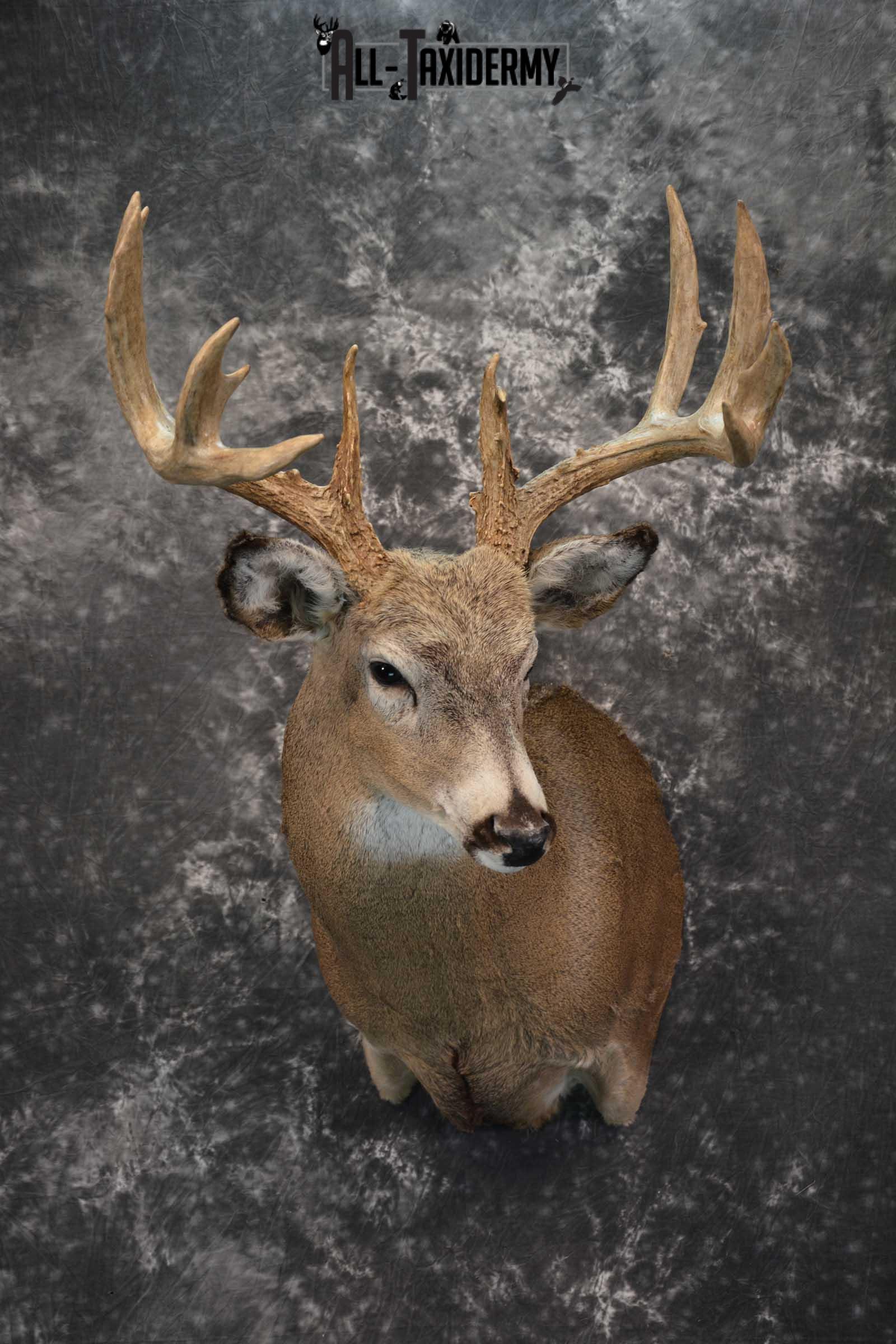 Whitetail deer taxidermy shoulder mount for sale SKU 1773