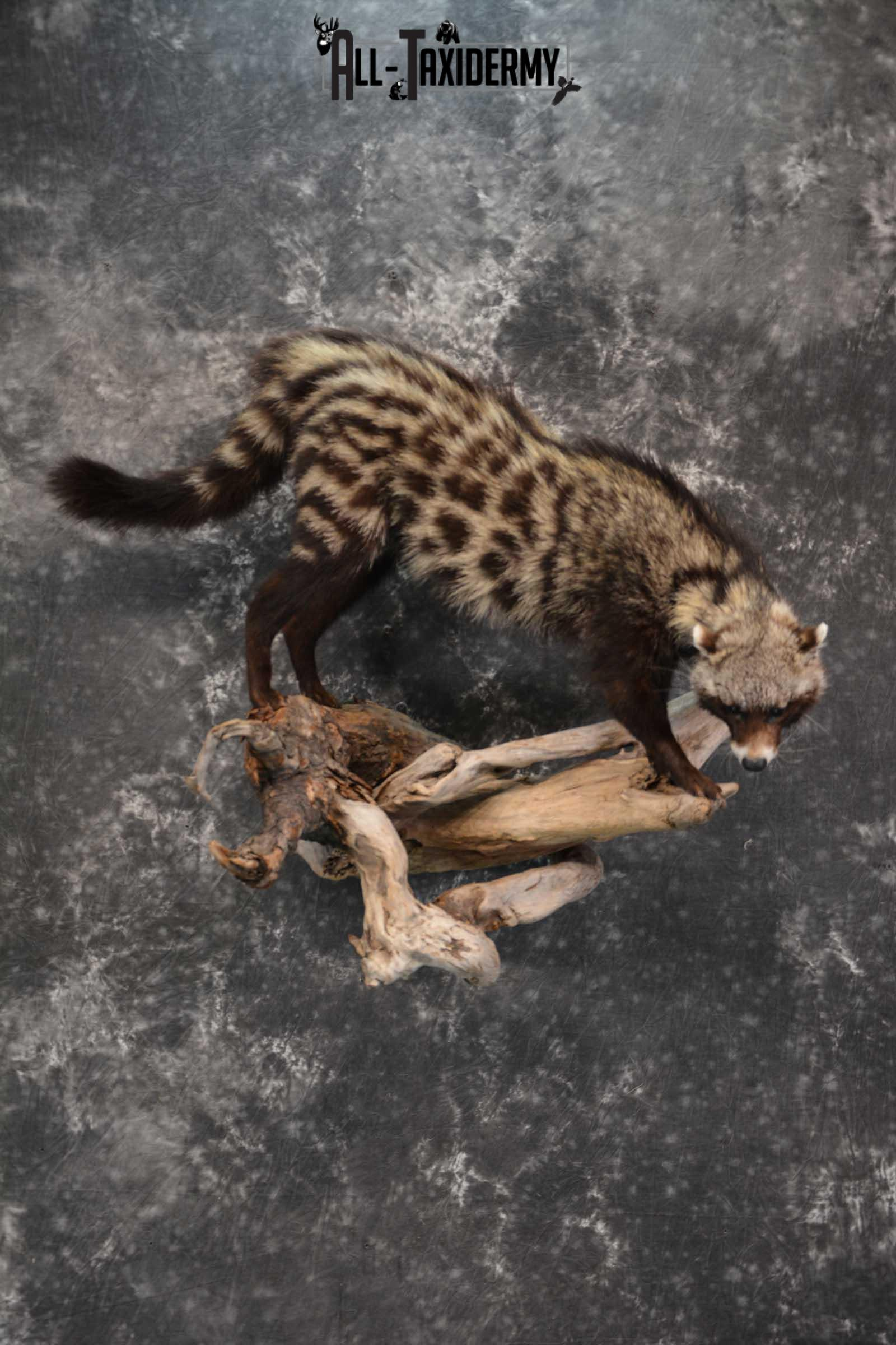 African Civet Cat Taxidermy Mount for sale SKU 1799