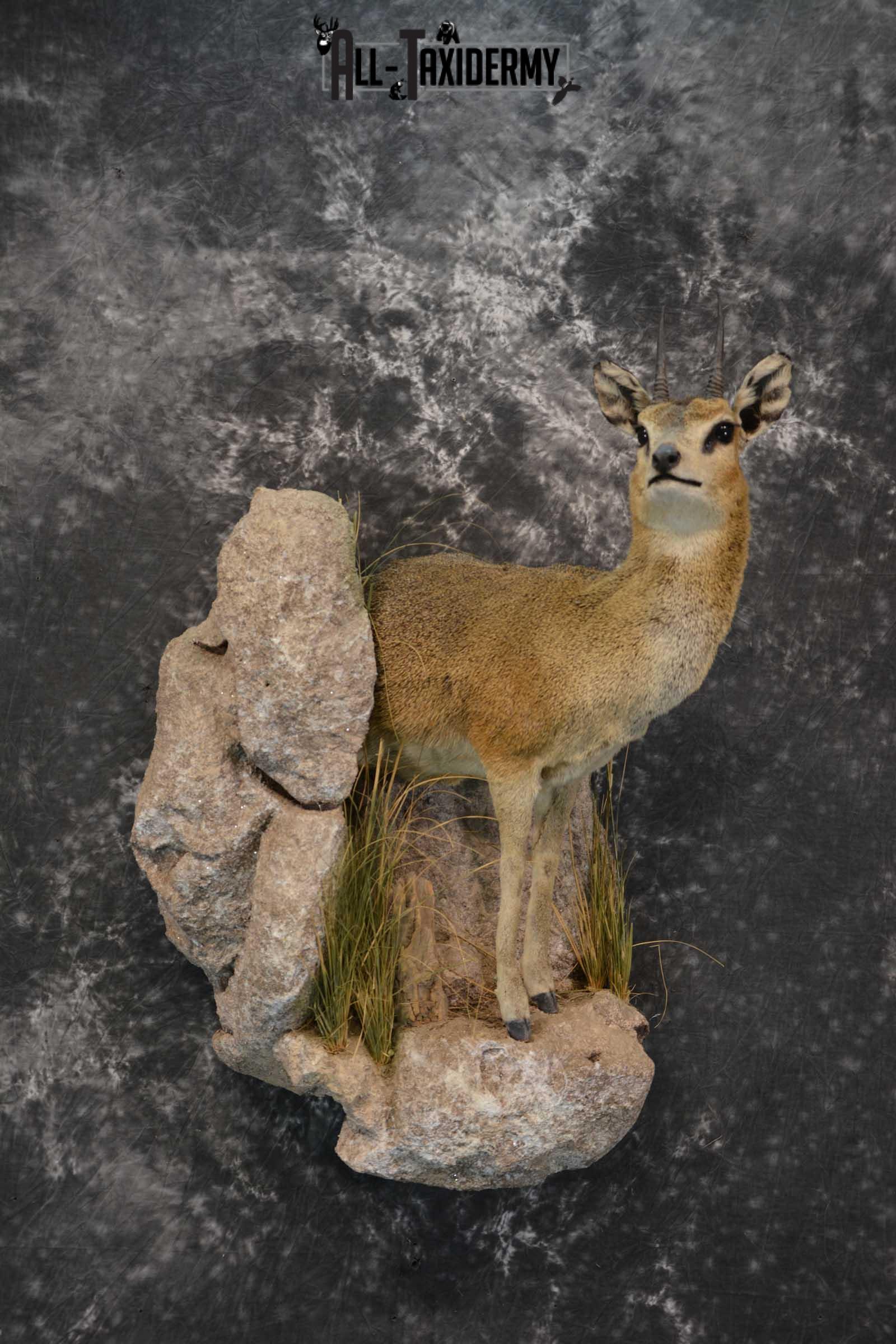 African 1/2 Body Klipspringer Taxidermy mount for sale SKU 1796