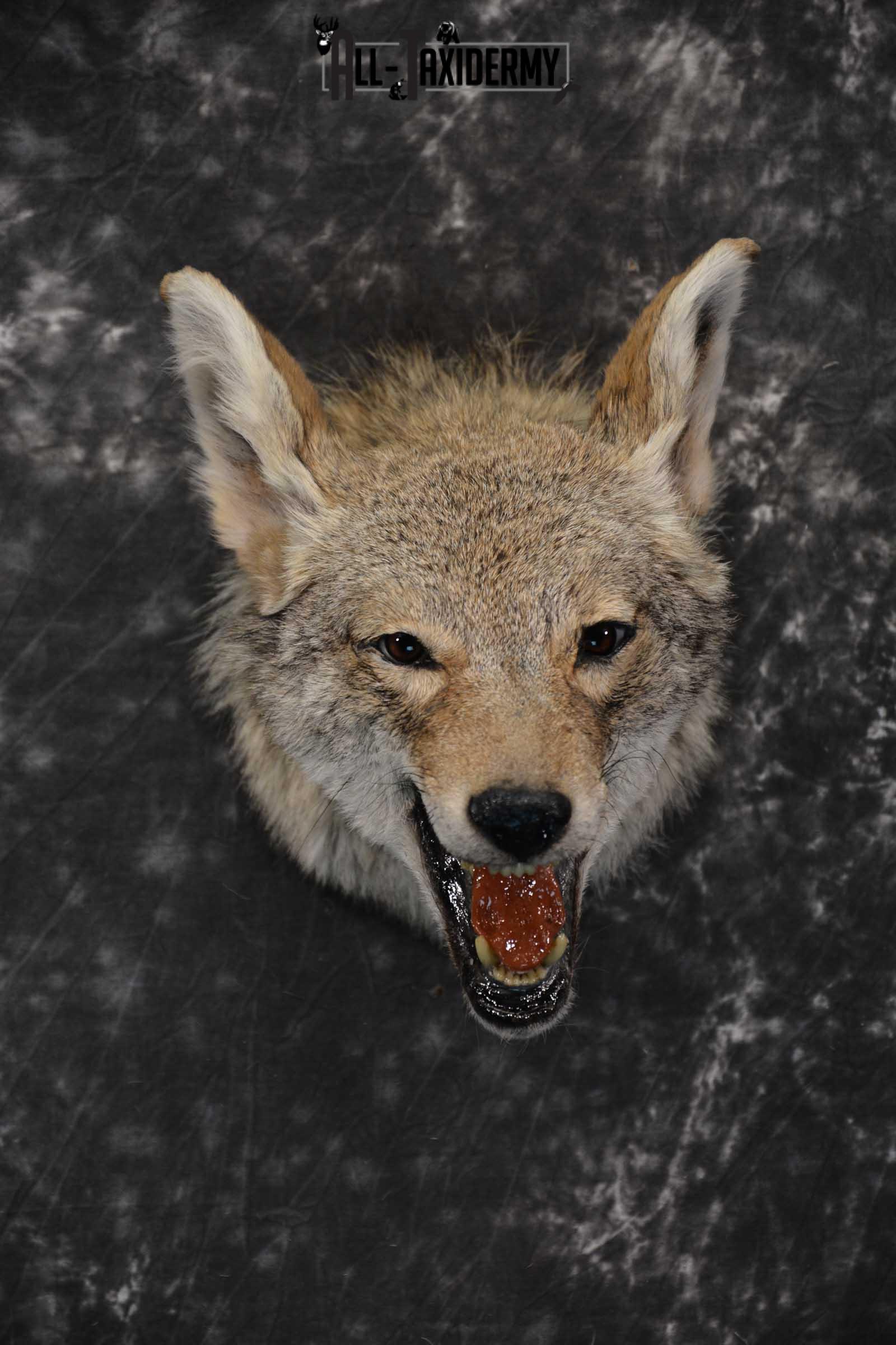 Coyote Taxidermy Shoulder Mount for sale SKU 1810