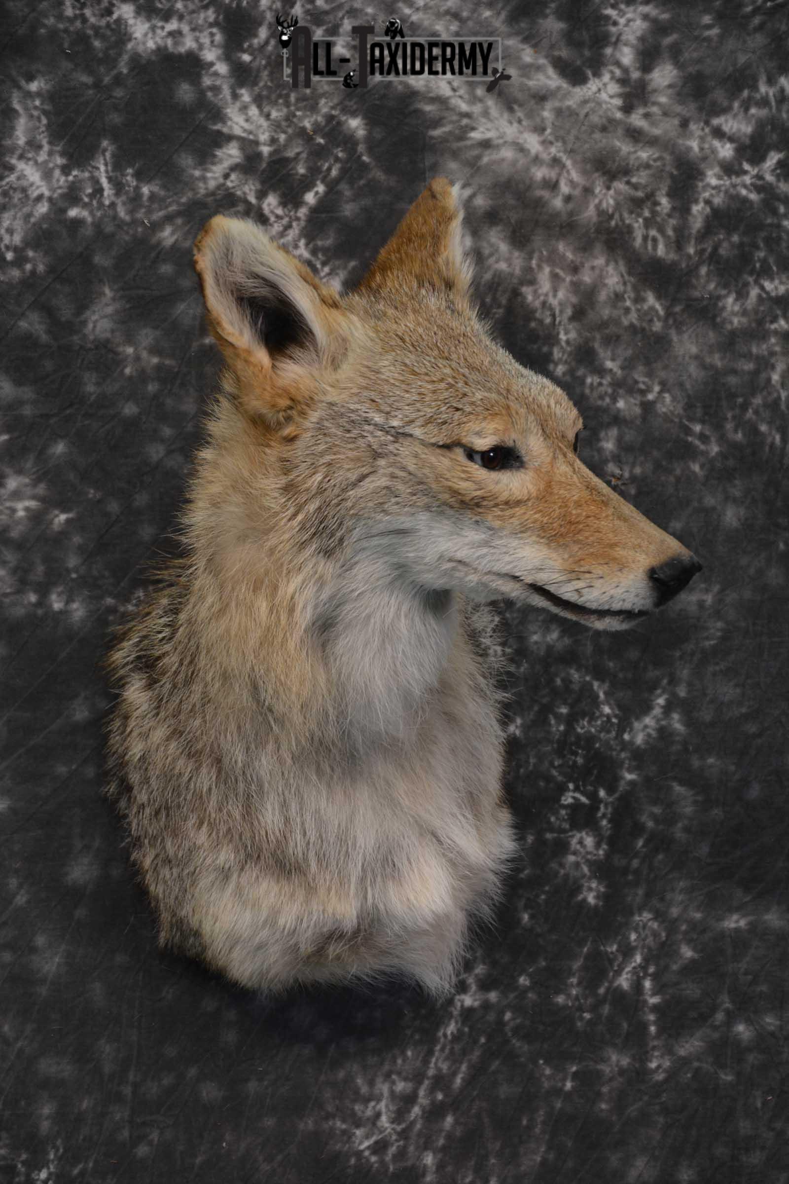 Coyote Taxidermy Shoulder Mount for sale SKU 1811