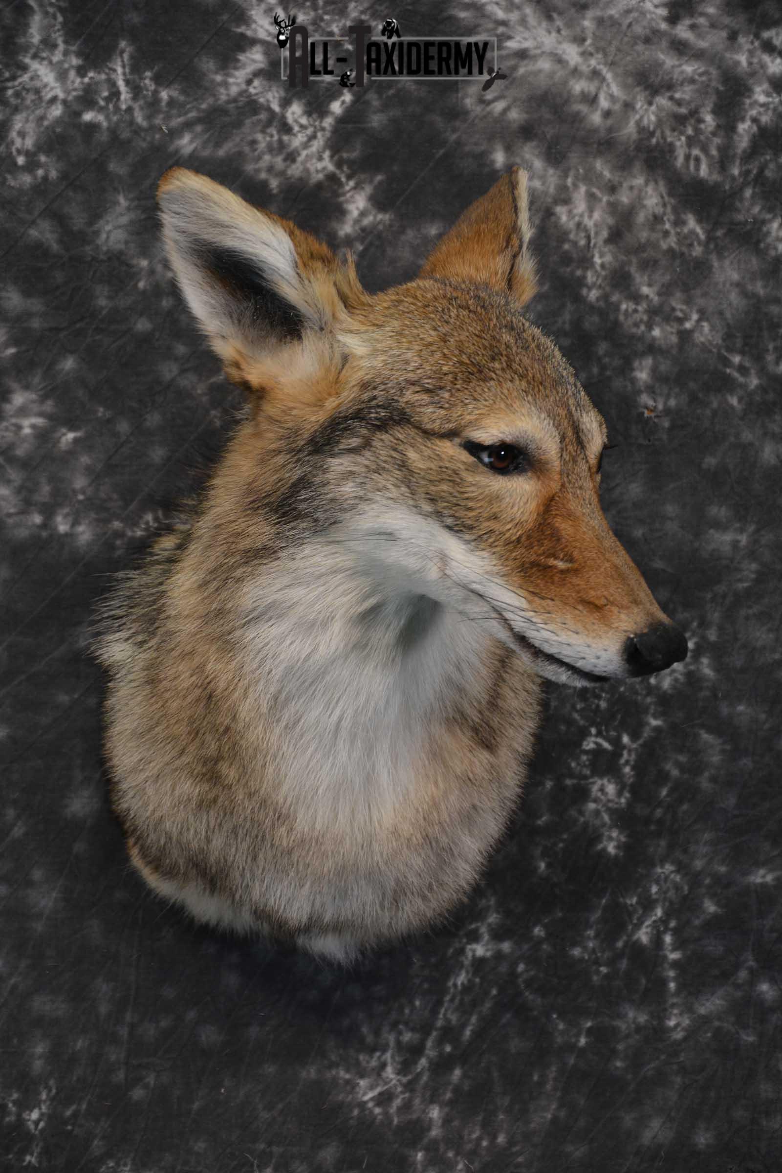 Coyote Taxidermy Shoulder Mount for sale SKU 1809