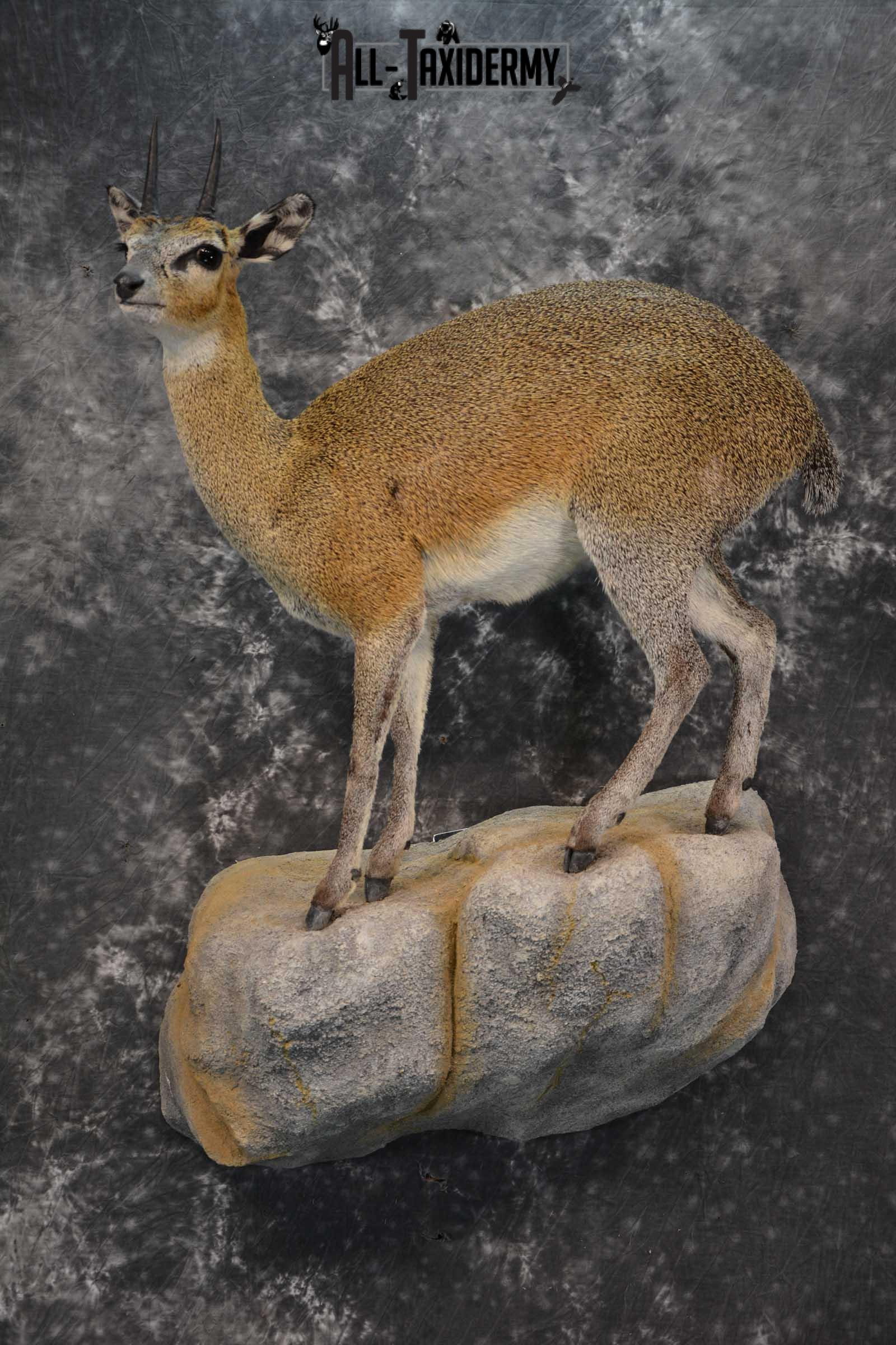 African Klipspringer Full Body Taxidermy Mount for sale SKU 1802