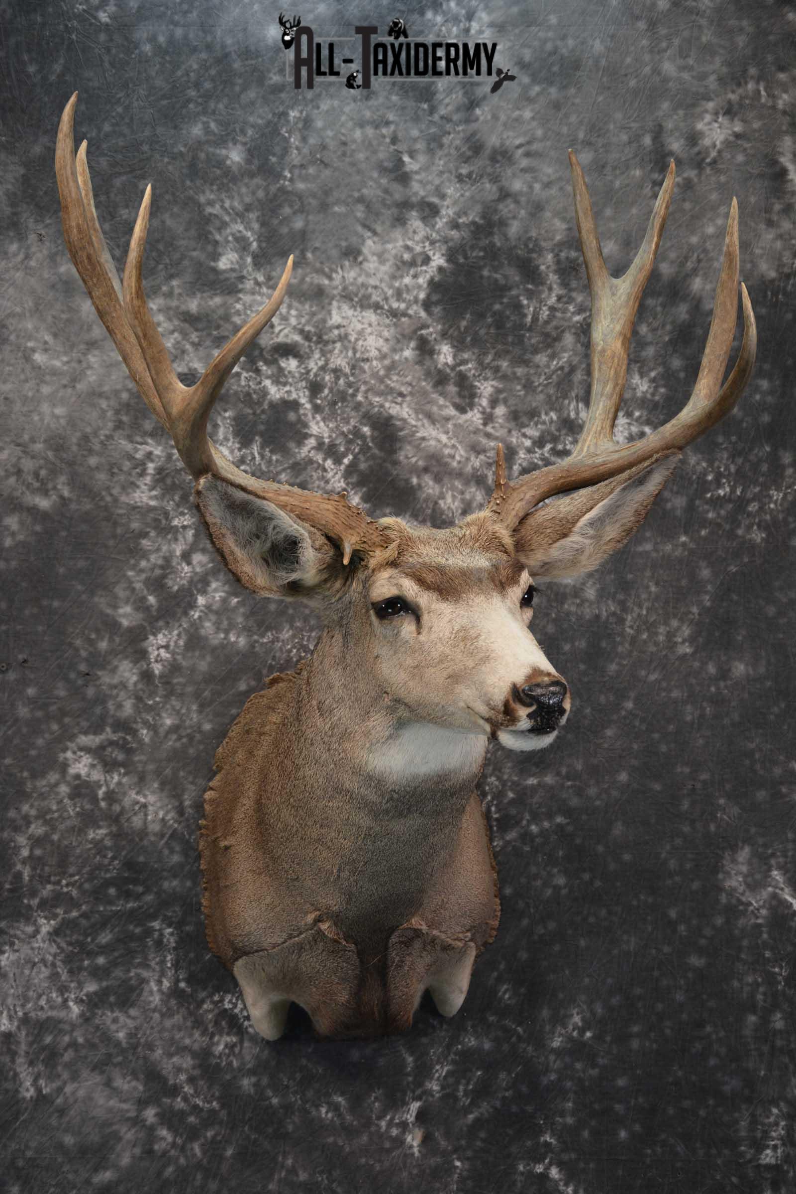 Mule Deer Taxidermy Shoulder Mount for sale SKU 1808