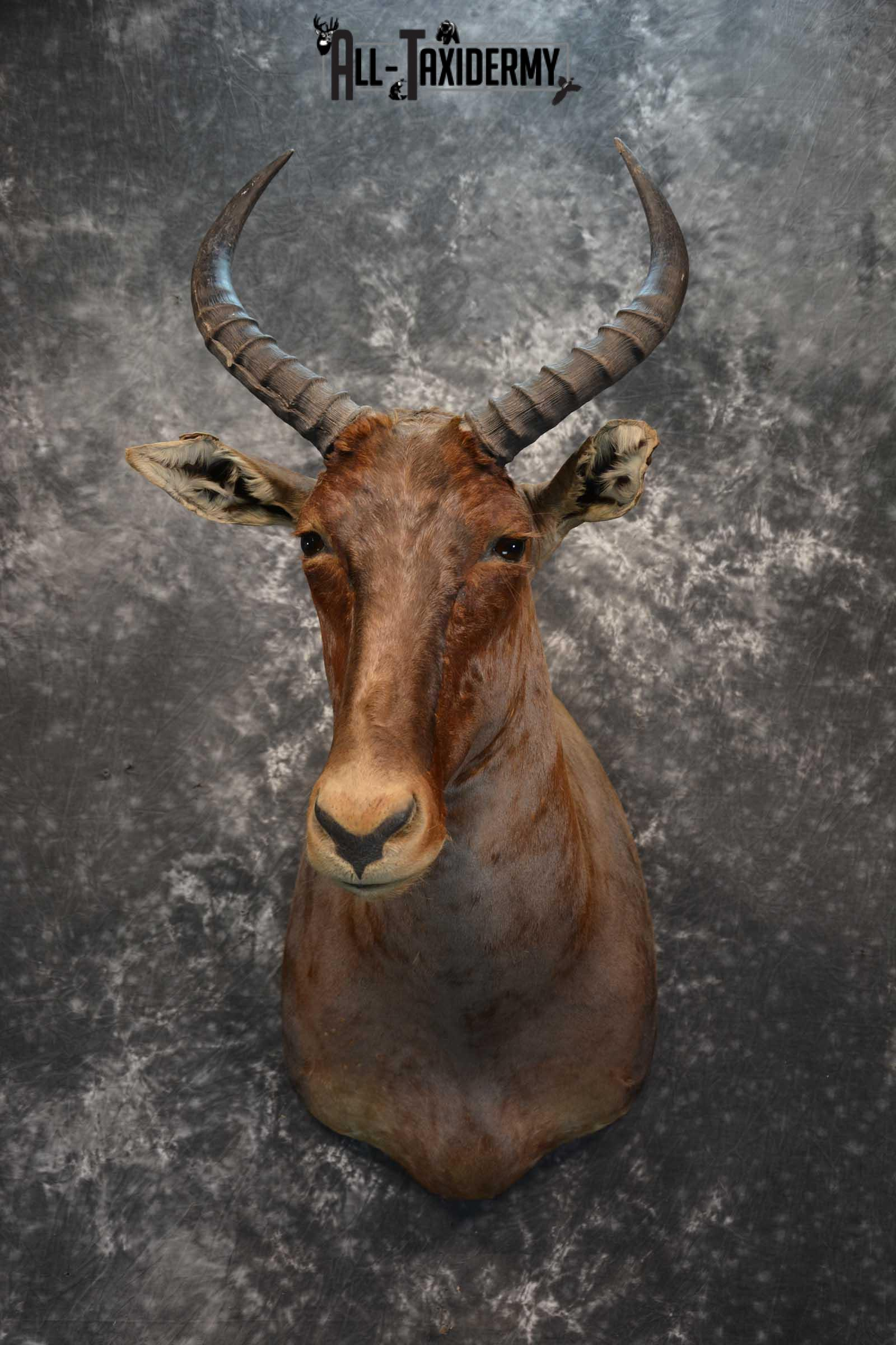 African Tsessebe Taxidermy Mount for sale SKU 1759