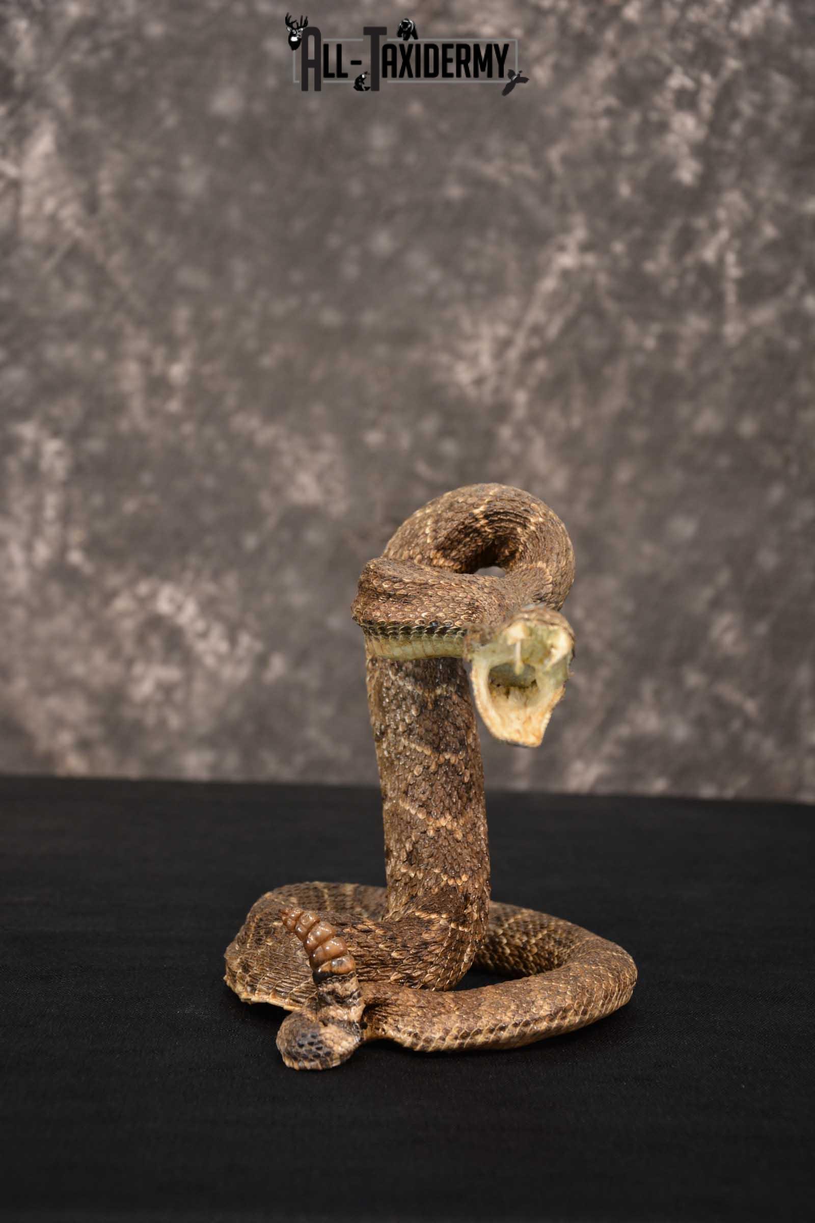 Diamondback Rattle Snake Taxidermy mount for sale SKU 1744