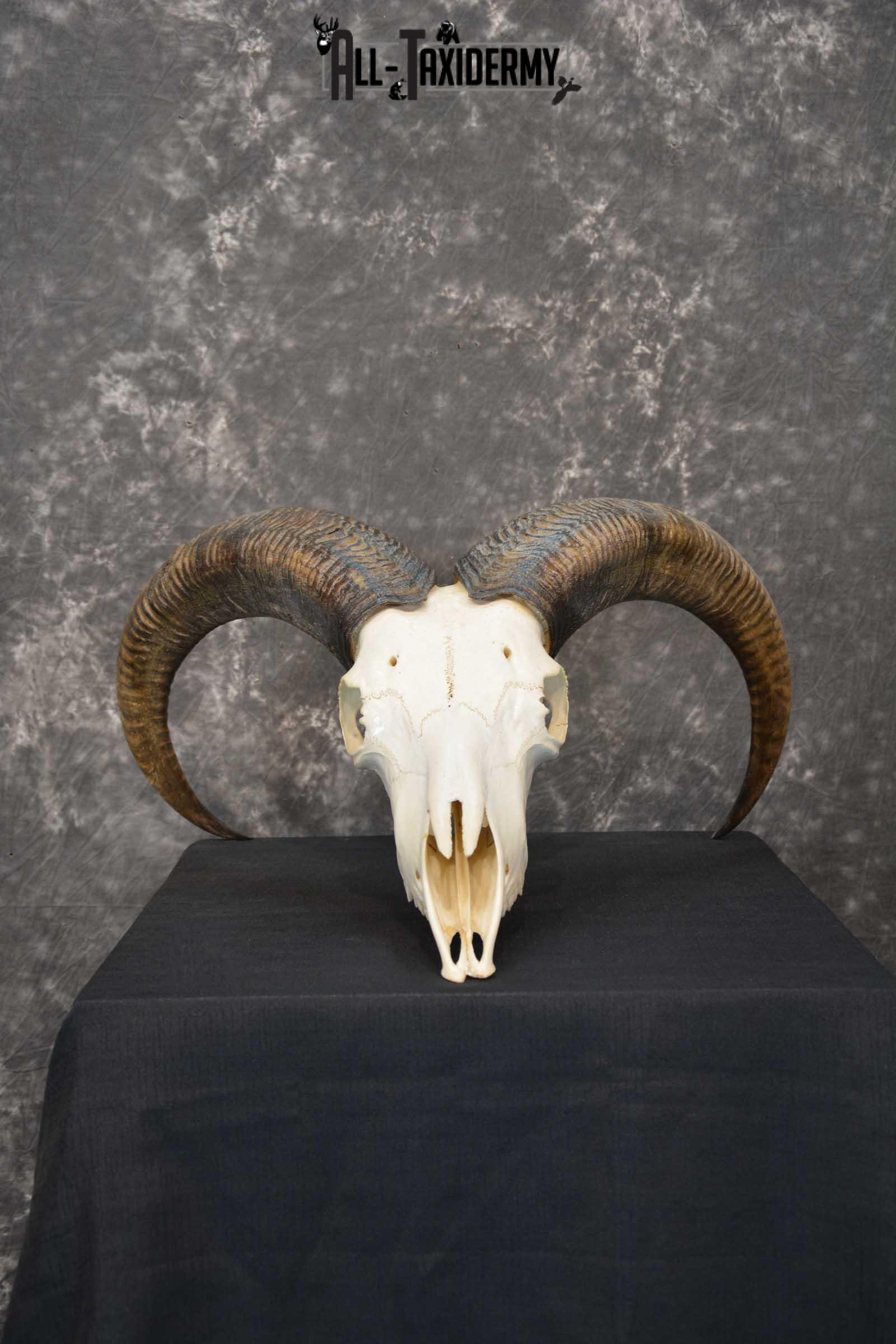 Aoudad European Skull taxidermy for sale SKU 1760