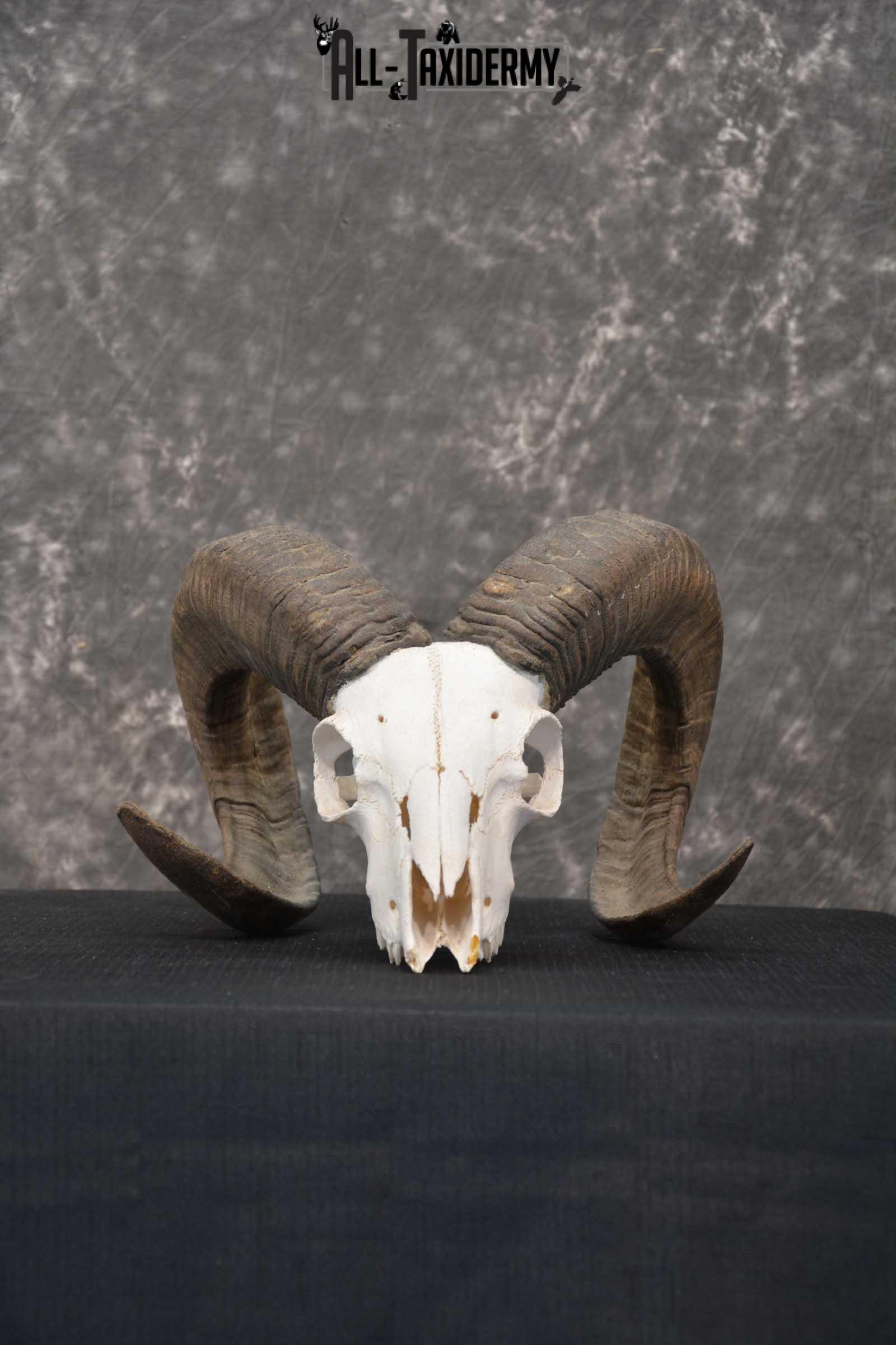 Soay Sheep Skull taxidermy for sale SKU 1772
