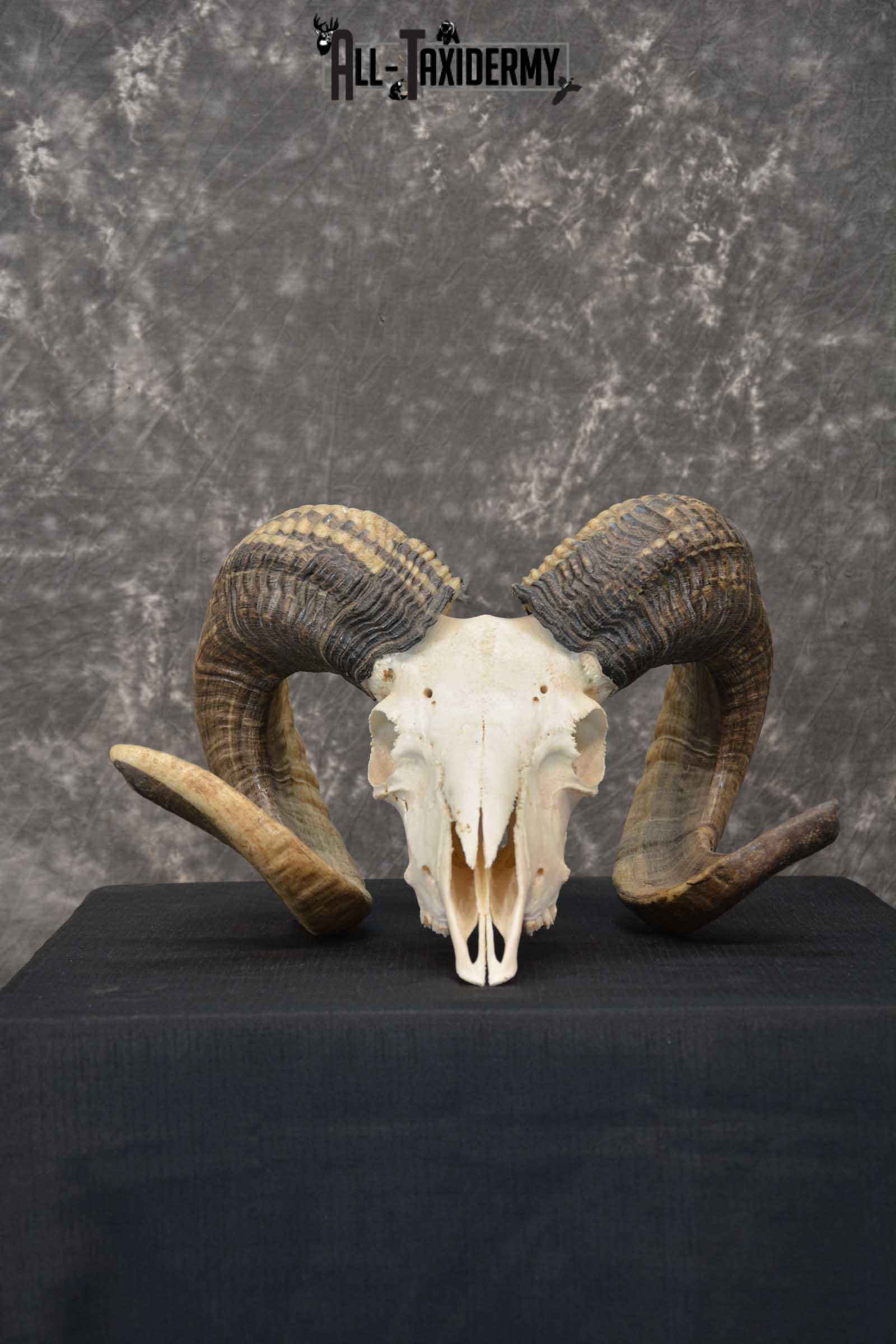 Soay Sheep Full Curl european skull taxidermy for sale SKU 1774