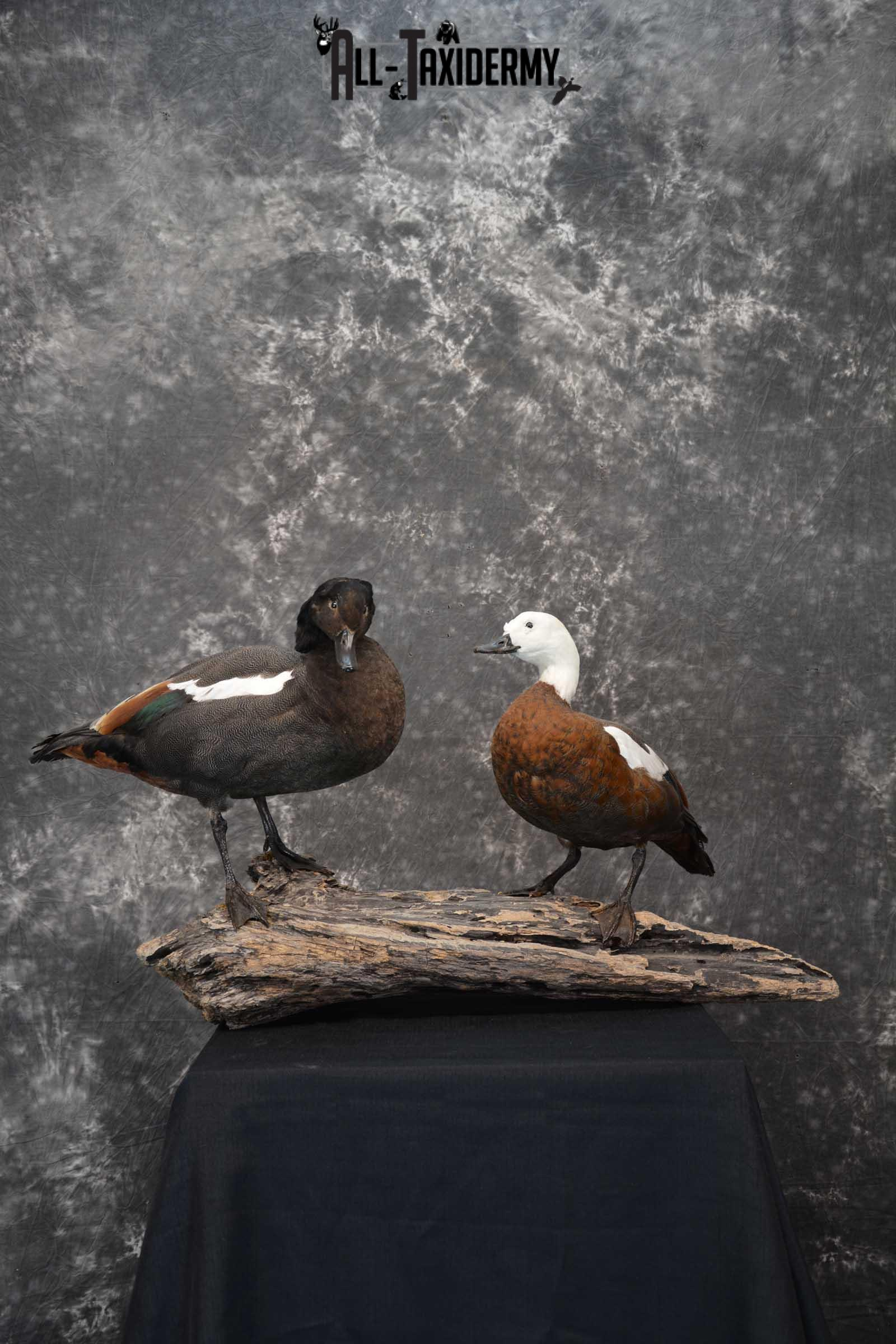 Pair of Newzeland Paradise Ducks taxidermy mount SKU 1828