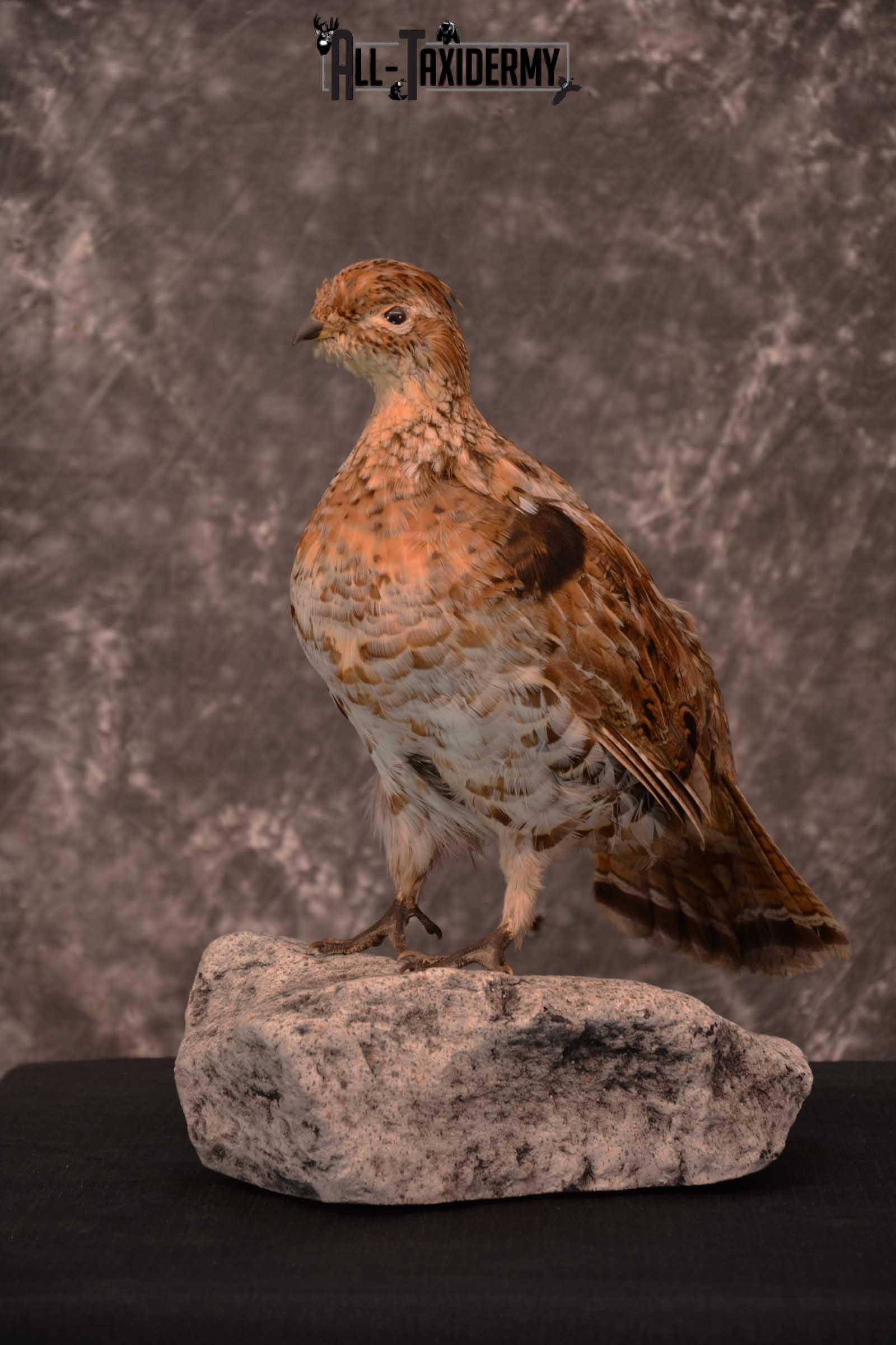 Ruffed Grouse full body taxidermy mount for sale SKU 1777