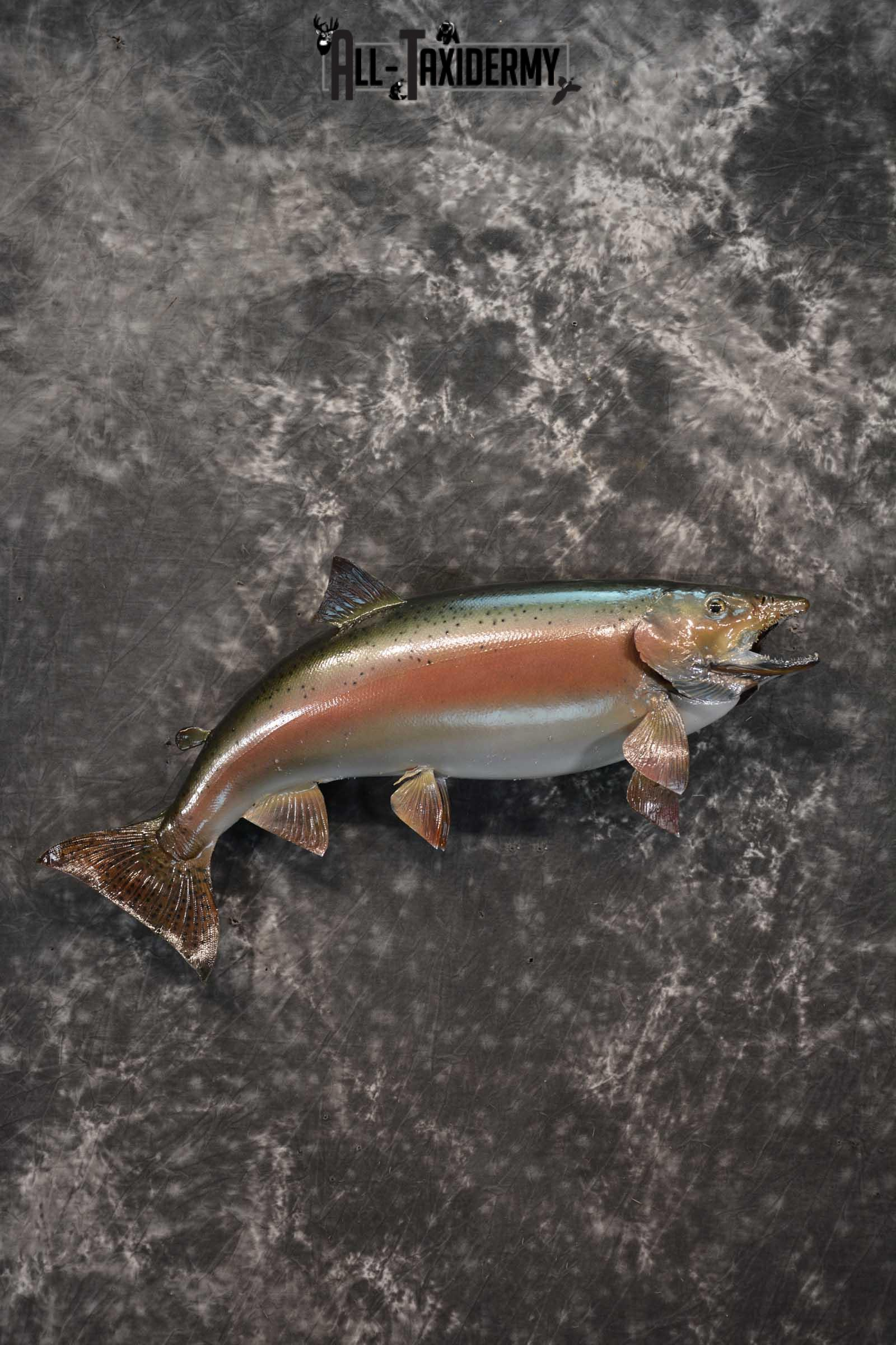Rainbow Trout fish taxidermy mount for sale SKU 1824