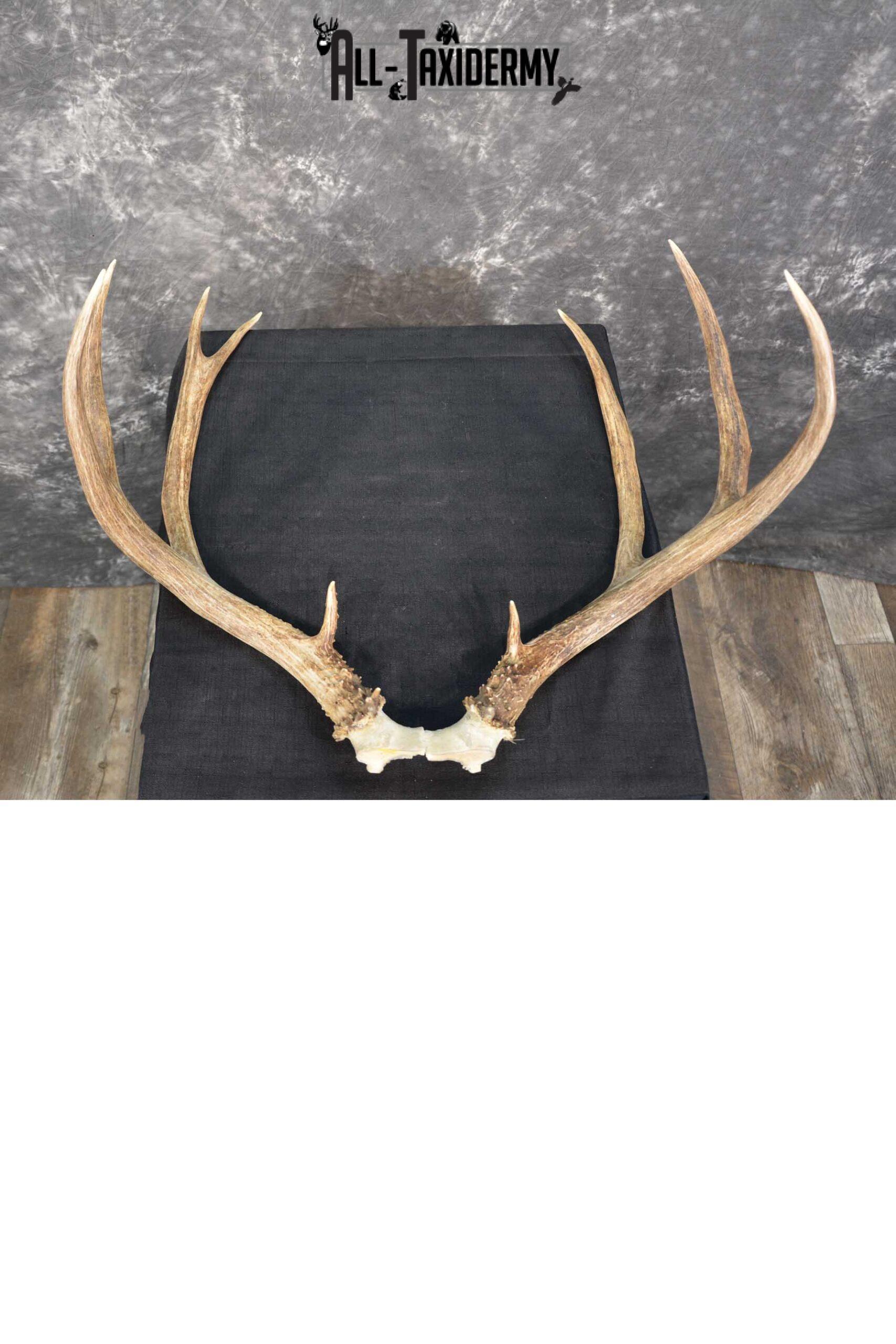 Mule Deer Antler skull cap taxidermy for sale SKU 1771.2