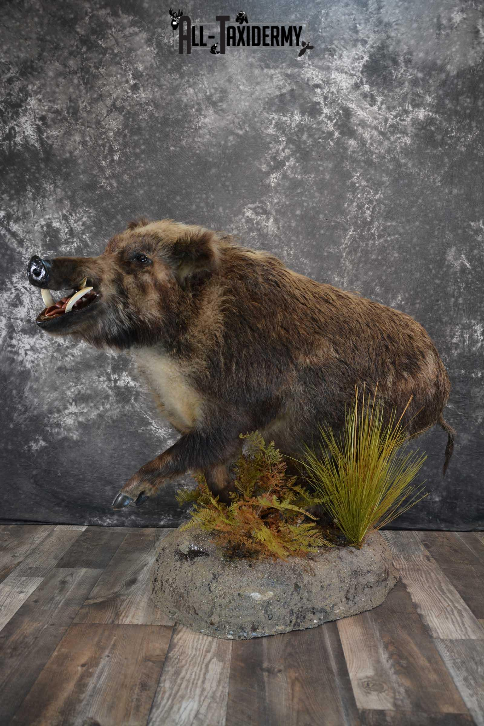 Russian Boar Life size taxidermy mount for sale SKU 1823