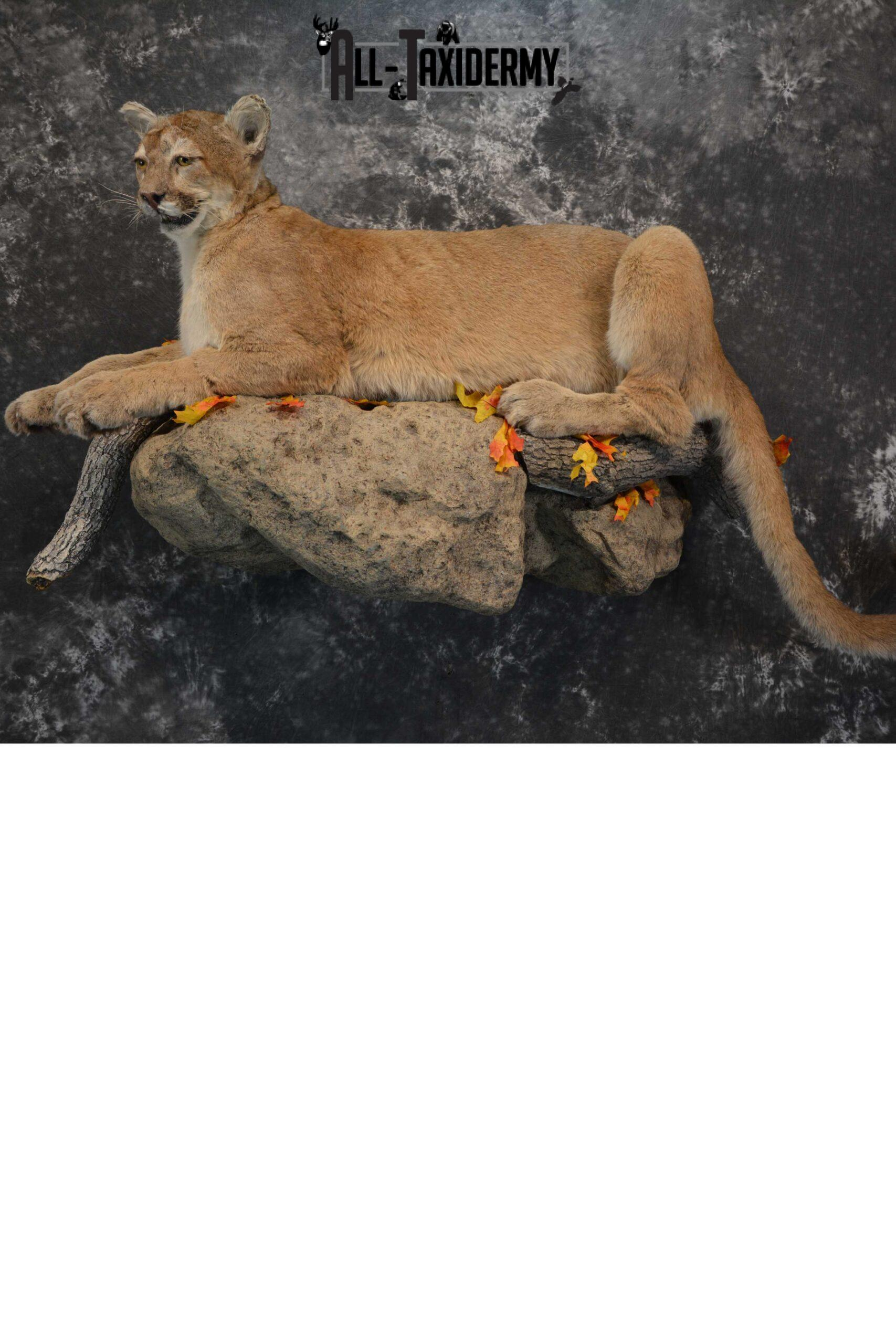 Mountian Lion Full Body taxidermy mount for sale SKU 1734