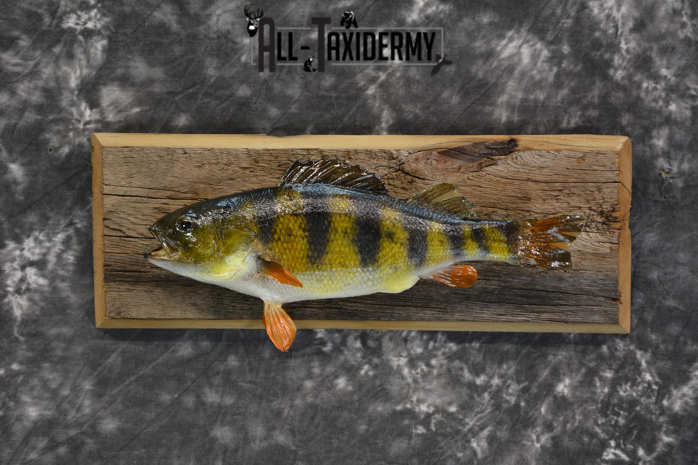 Perch Taxidermy fish mount for sale SKU 1852.3